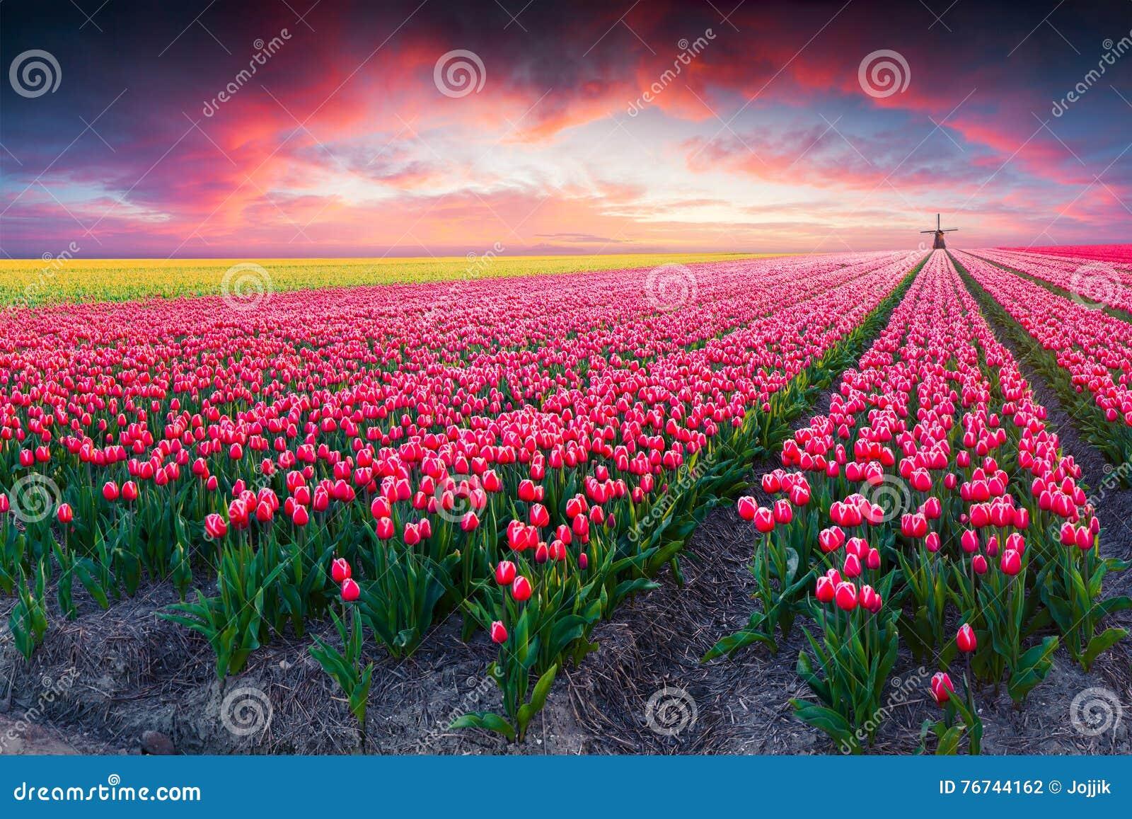 在郁金香农场的剧烈的春天场面