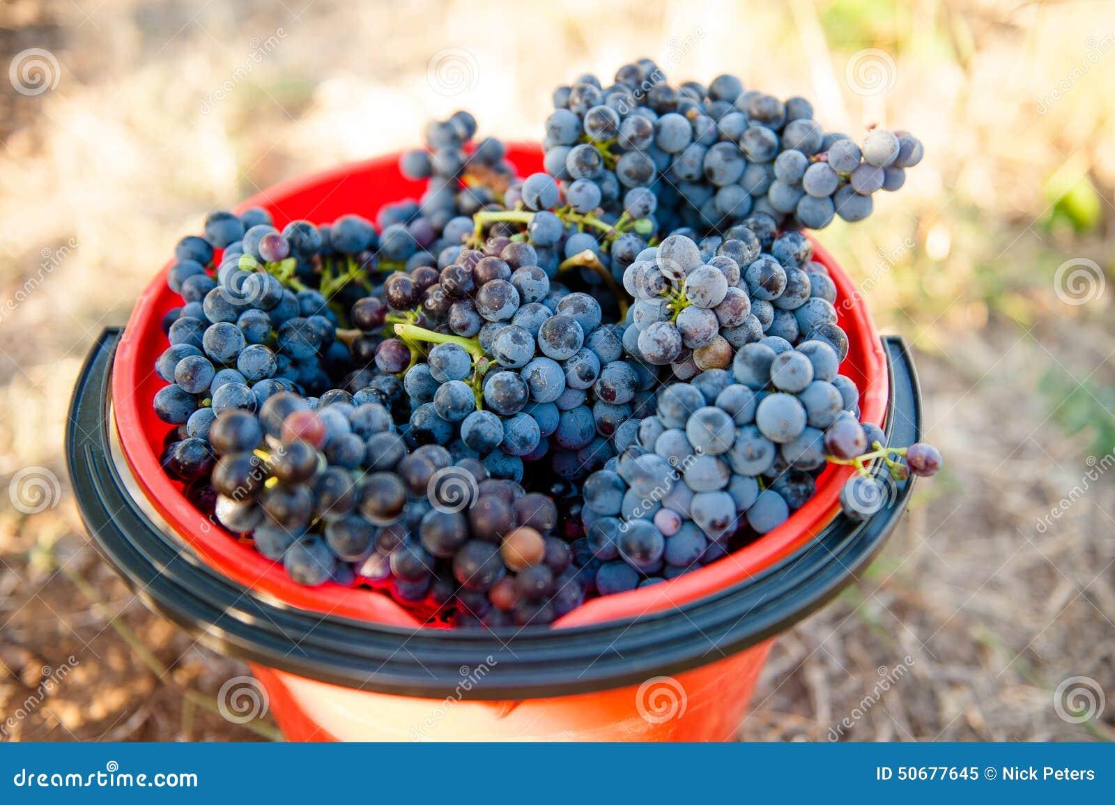 Download 在采摘桶的红葡萄 库存图片. 图片 包括有 装载, 工厂, 产物, 问题的, 玻璃, 农场, 维多利亚, 时段 - 50677645