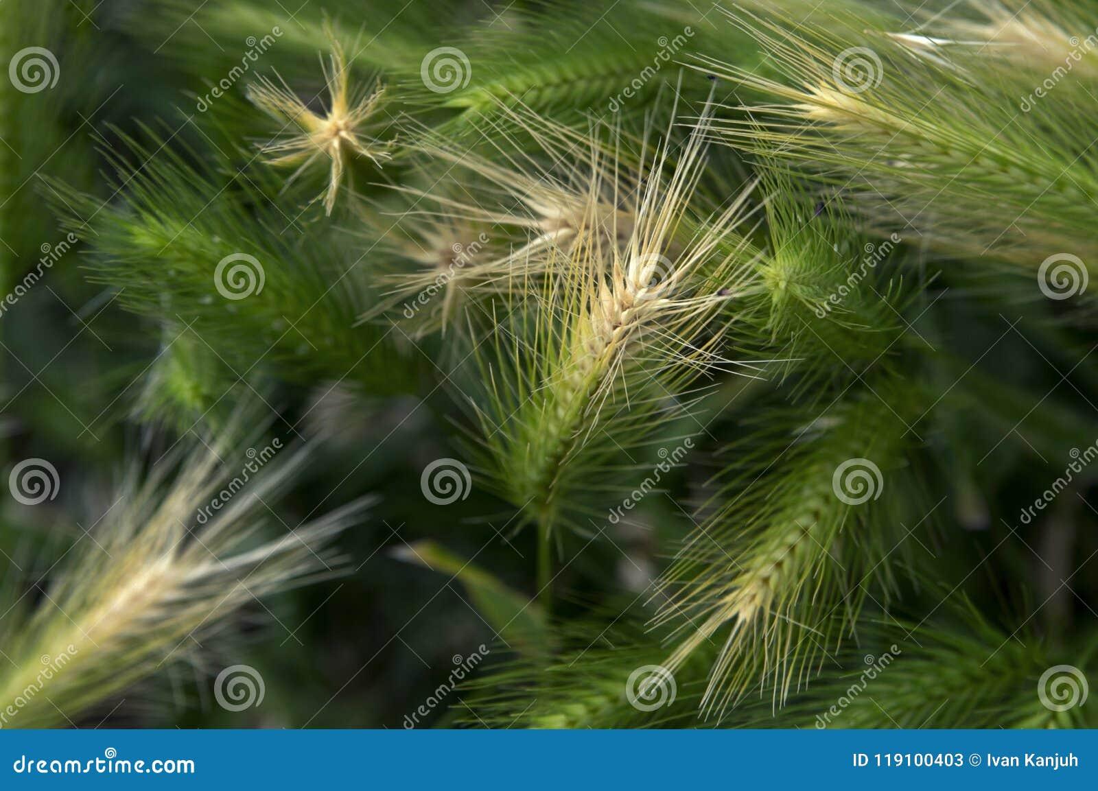 在野生大麦的风