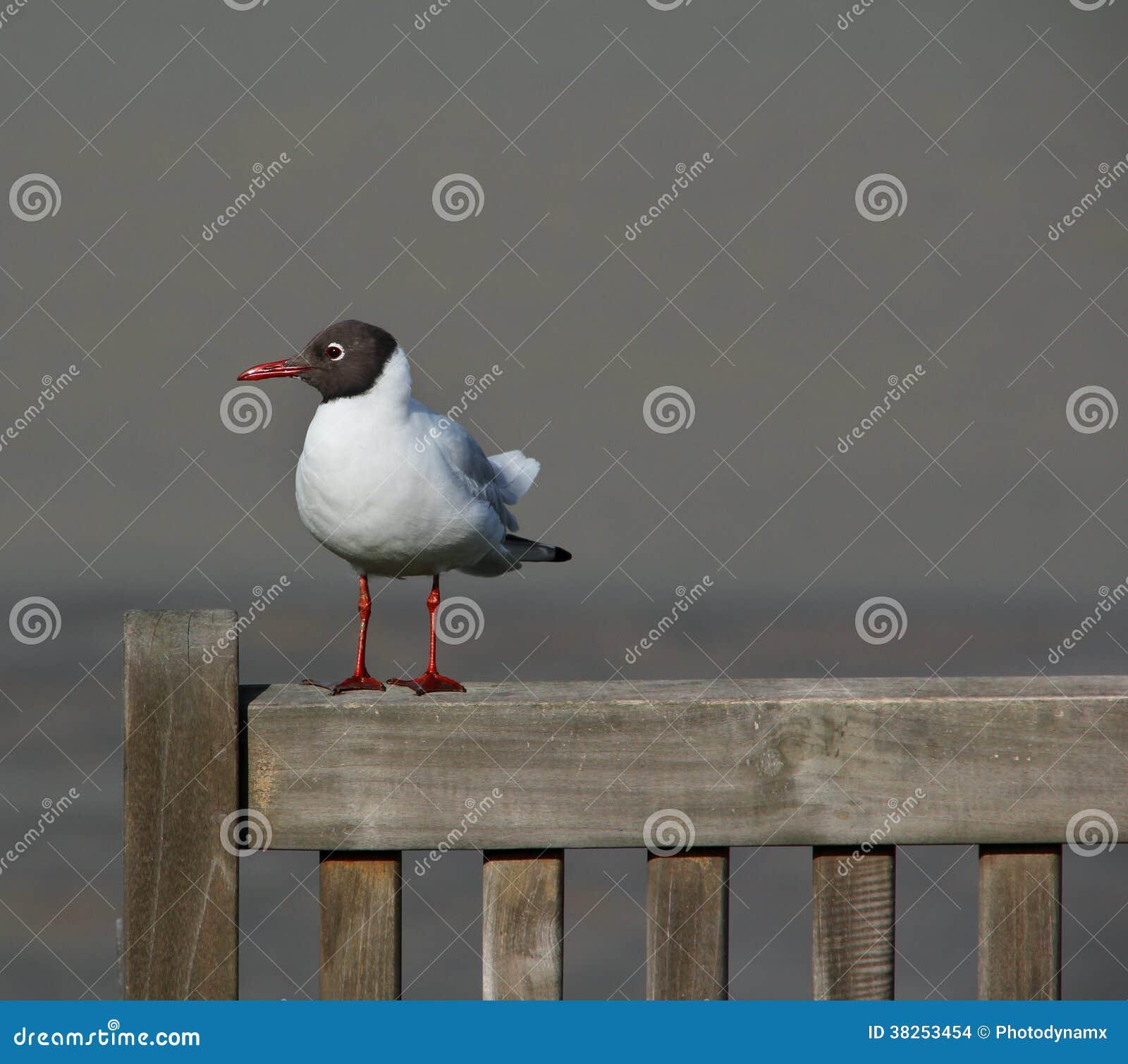 在长凳的北极燕鸥海鸥