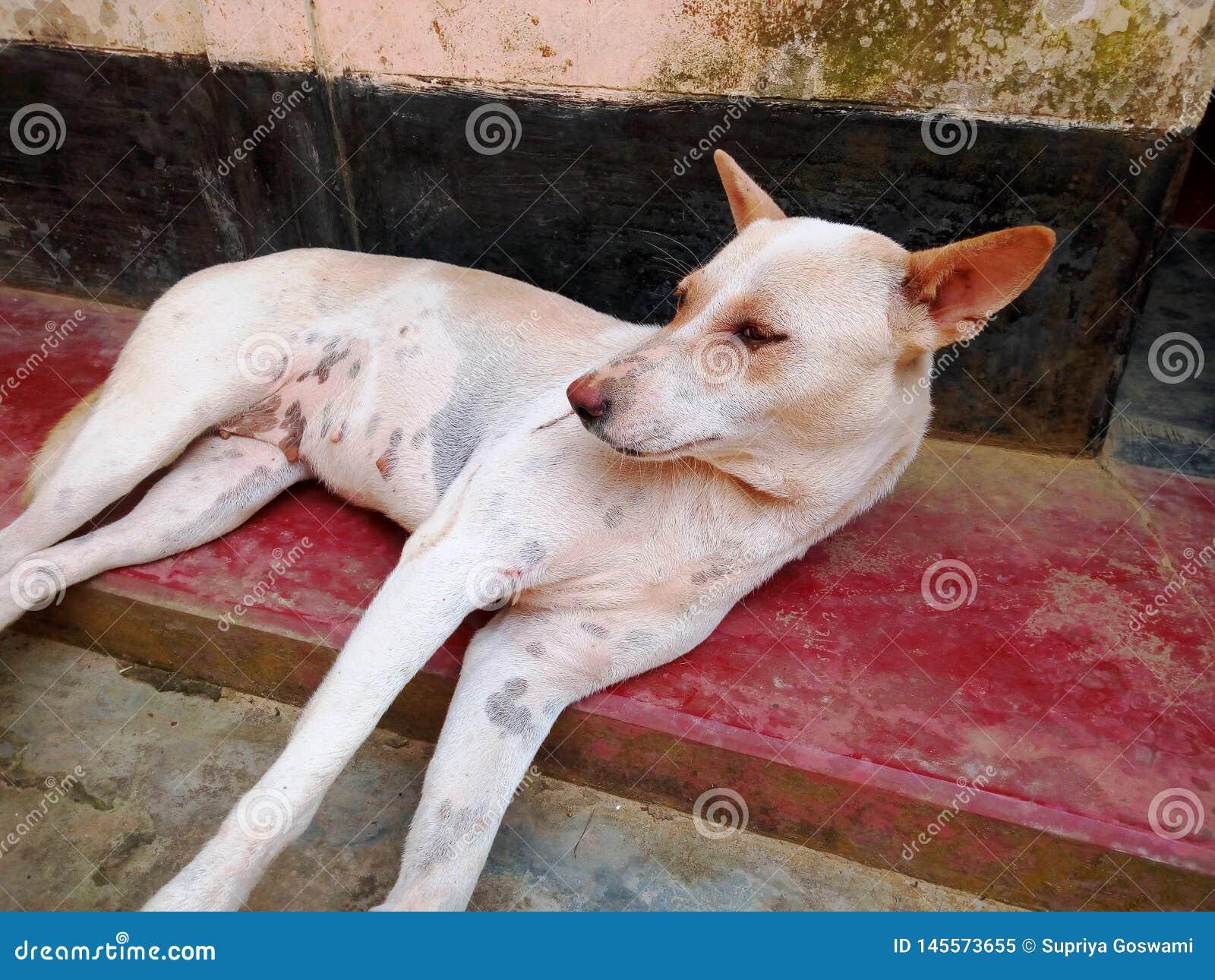 在门廓的说谎的狗观看事的可疑