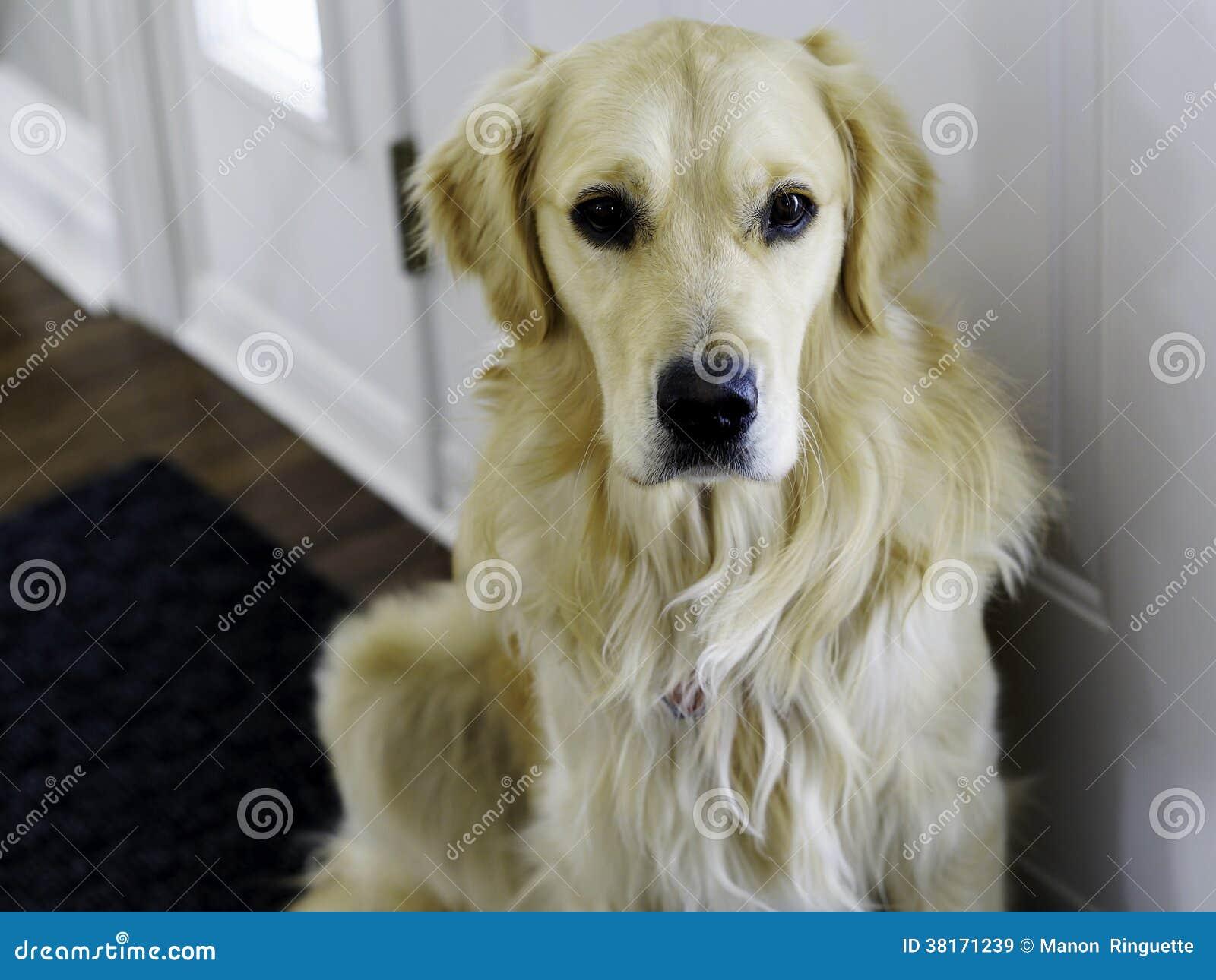 在门的金毛猎犬