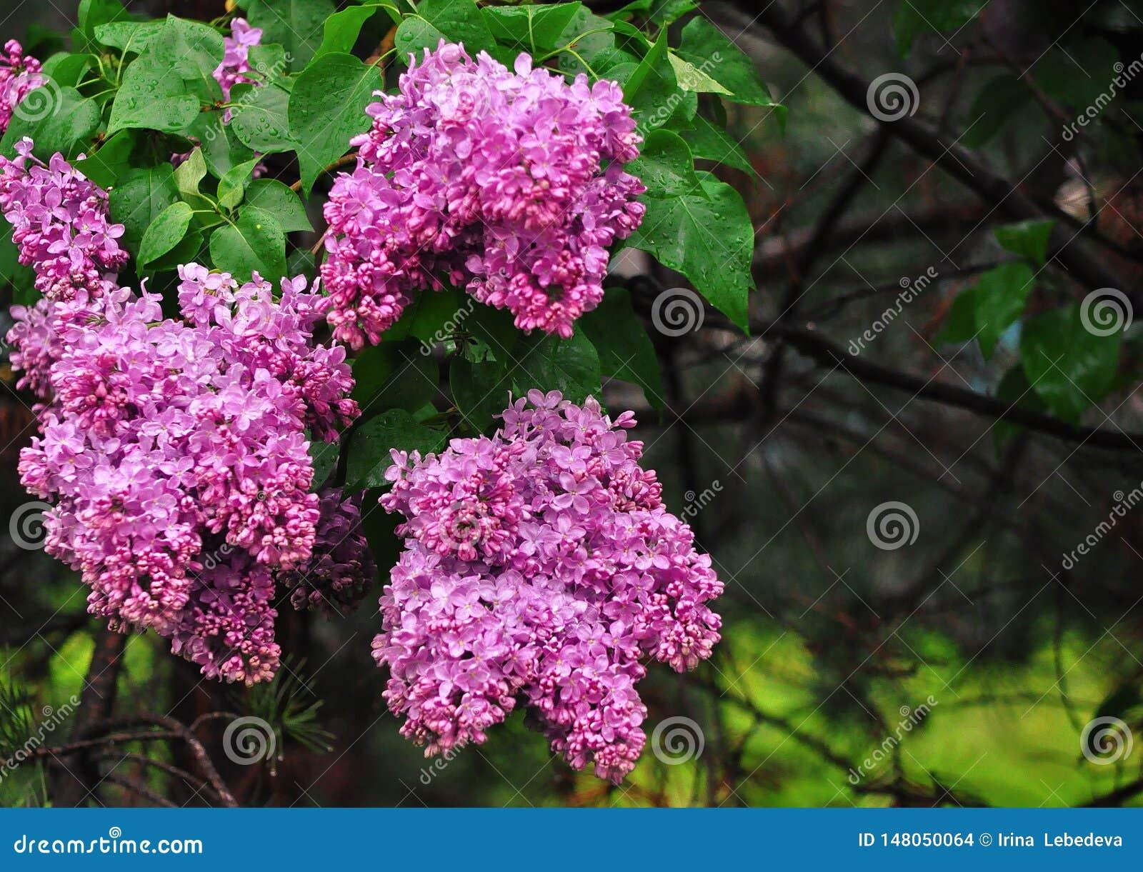在雨以后的淡紫色花在绿色背景