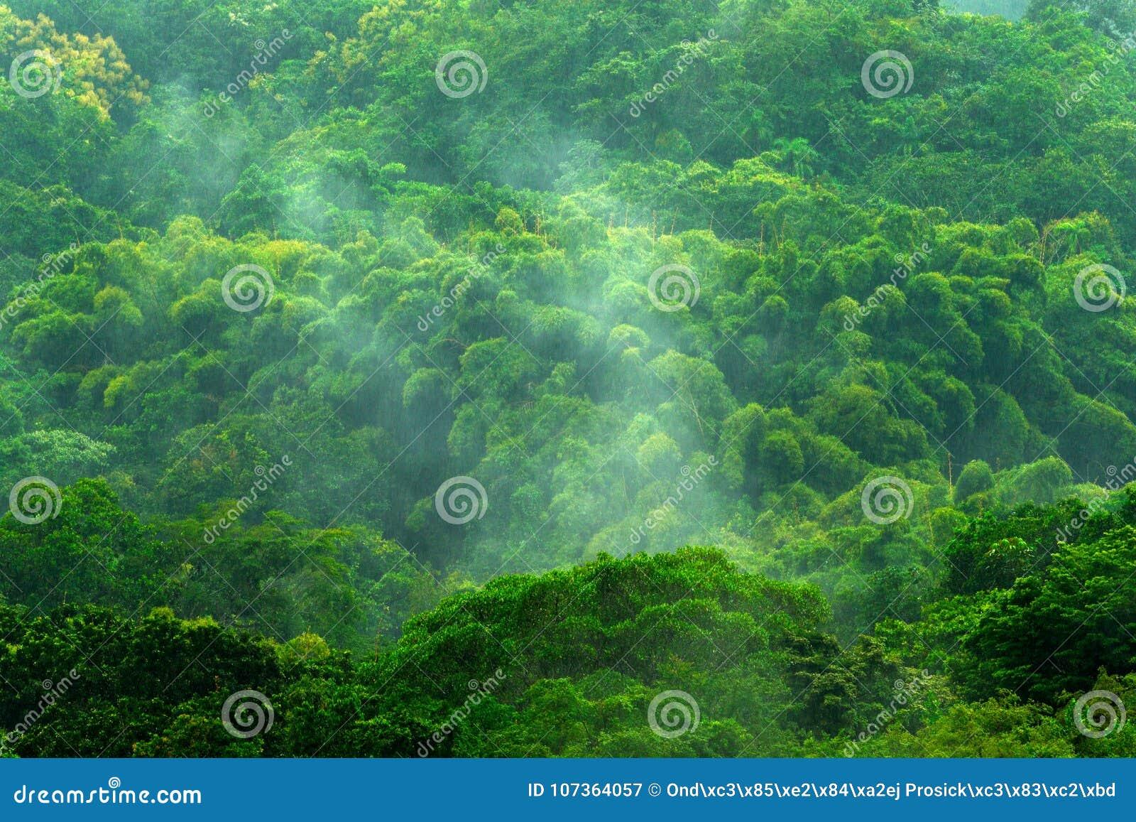 在雨天期间,热带森林 与雨和雾的绿色密林风景 与大美丽的树的森林小山在圣玛尔塔,科洛火山