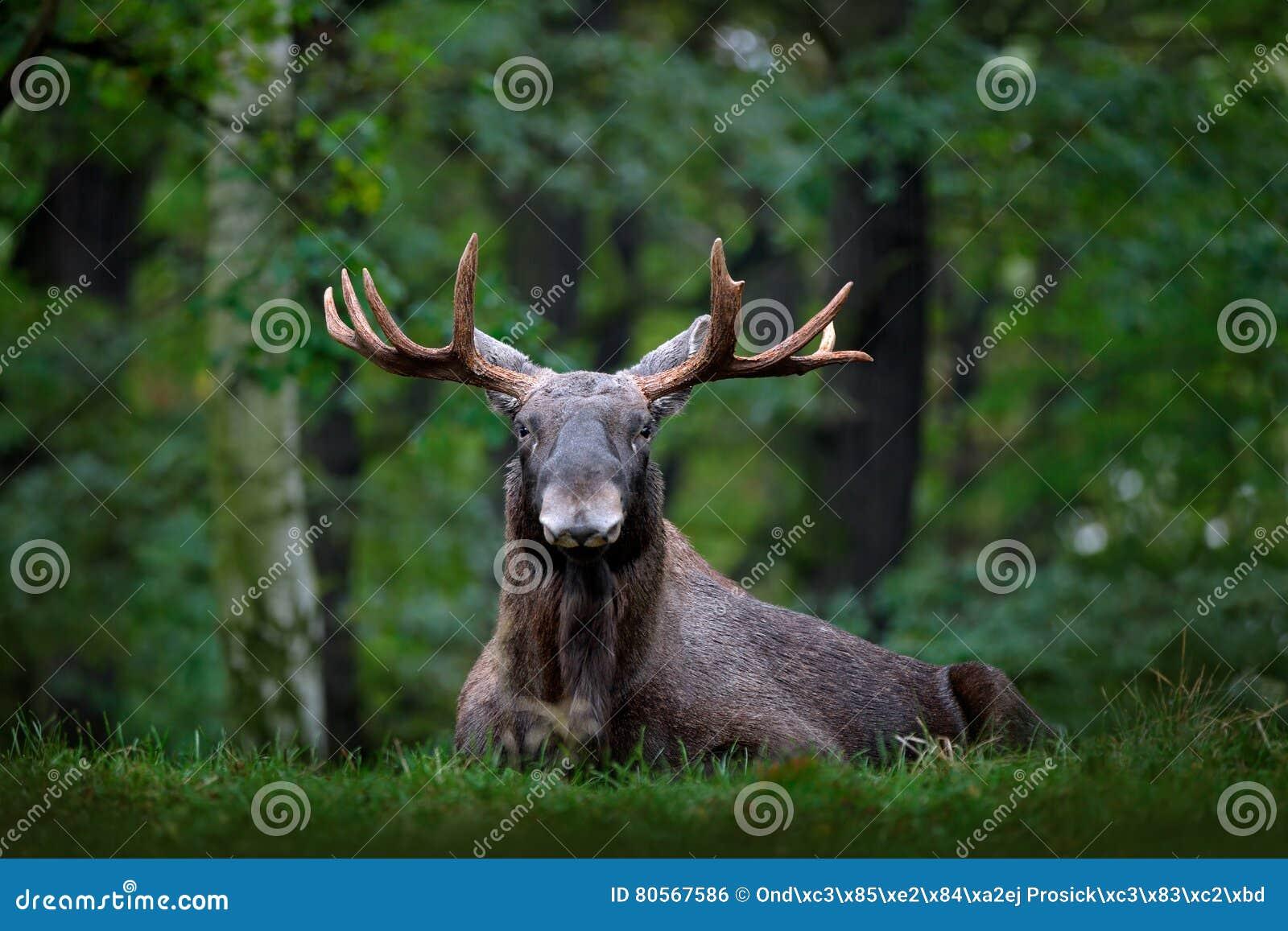 在雨天期间,麋、北美或者欧亚麋,欧亚大陆,驼鹿属驼鹿属在黑暗的森林里 在自然ha的美丽的动物