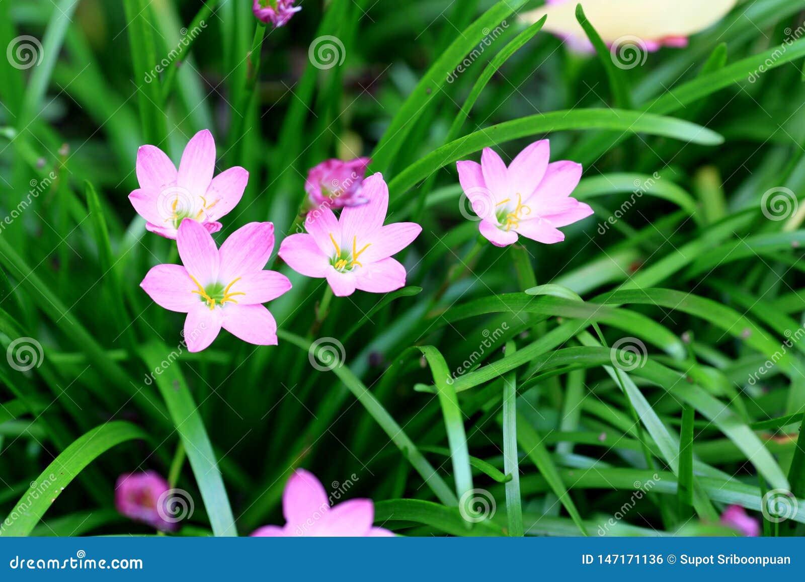 在雨季节的桃红色花