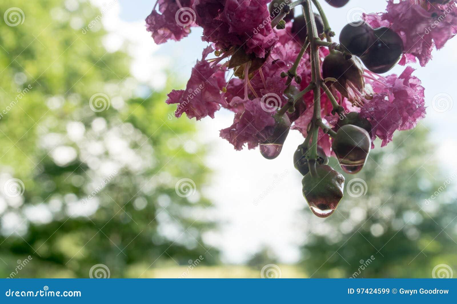 在雨以后的绉绸桃金娘树与开花和芽