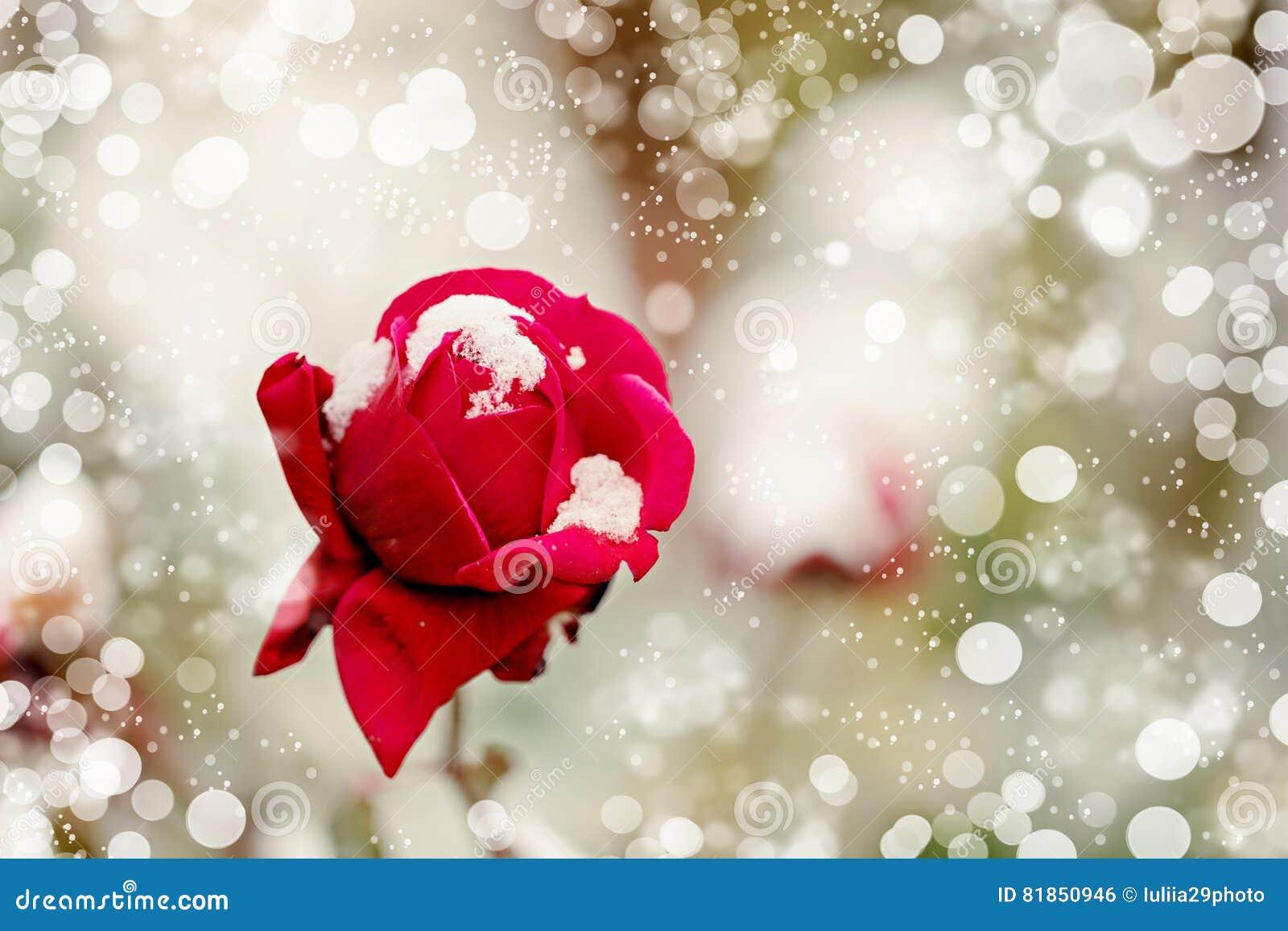 在雪特写镜头的红色玫瑰 选择聚焦