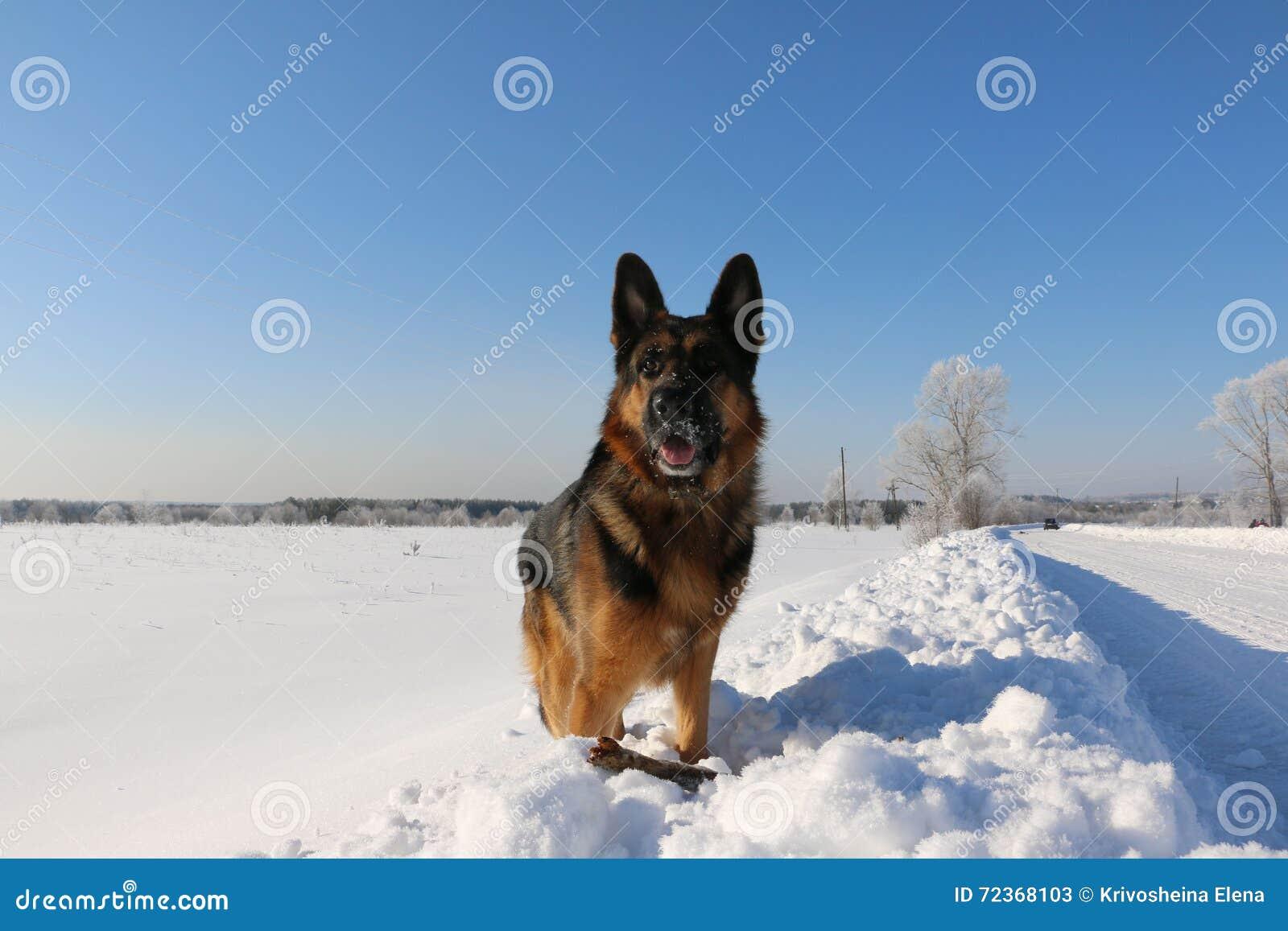 在雪的德国牧羊犬狗