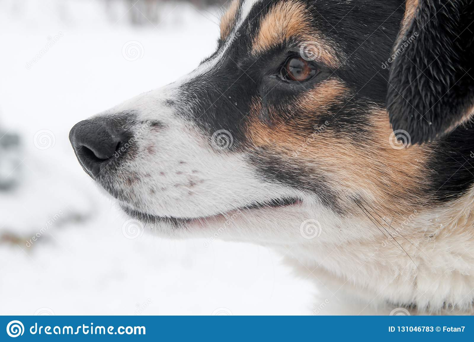 在雪的画象聪明的白色狗,看直接
