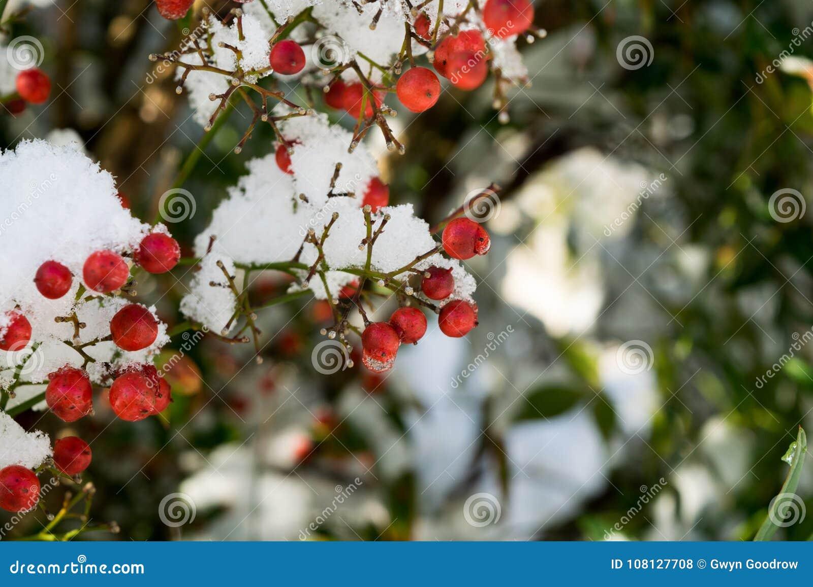 在雪的红色莓果在冷的冬日