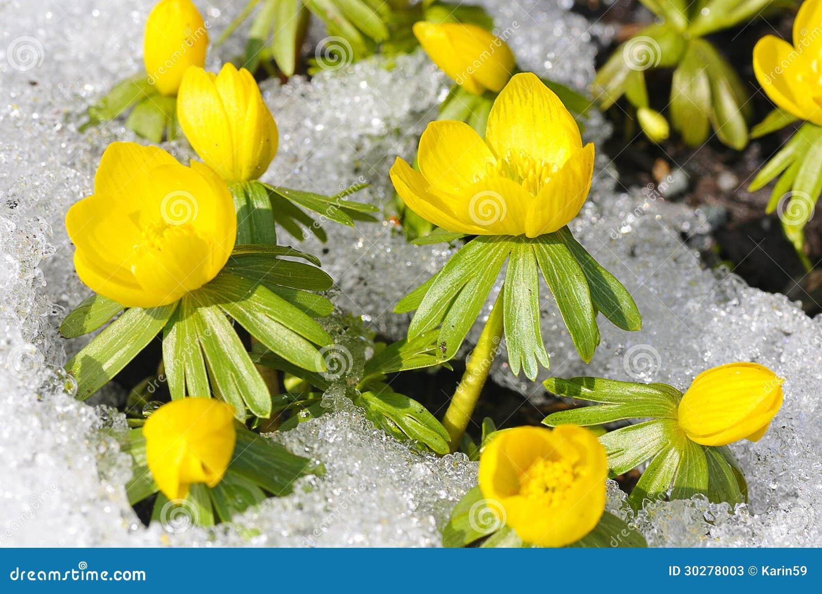在雪的菟葵属