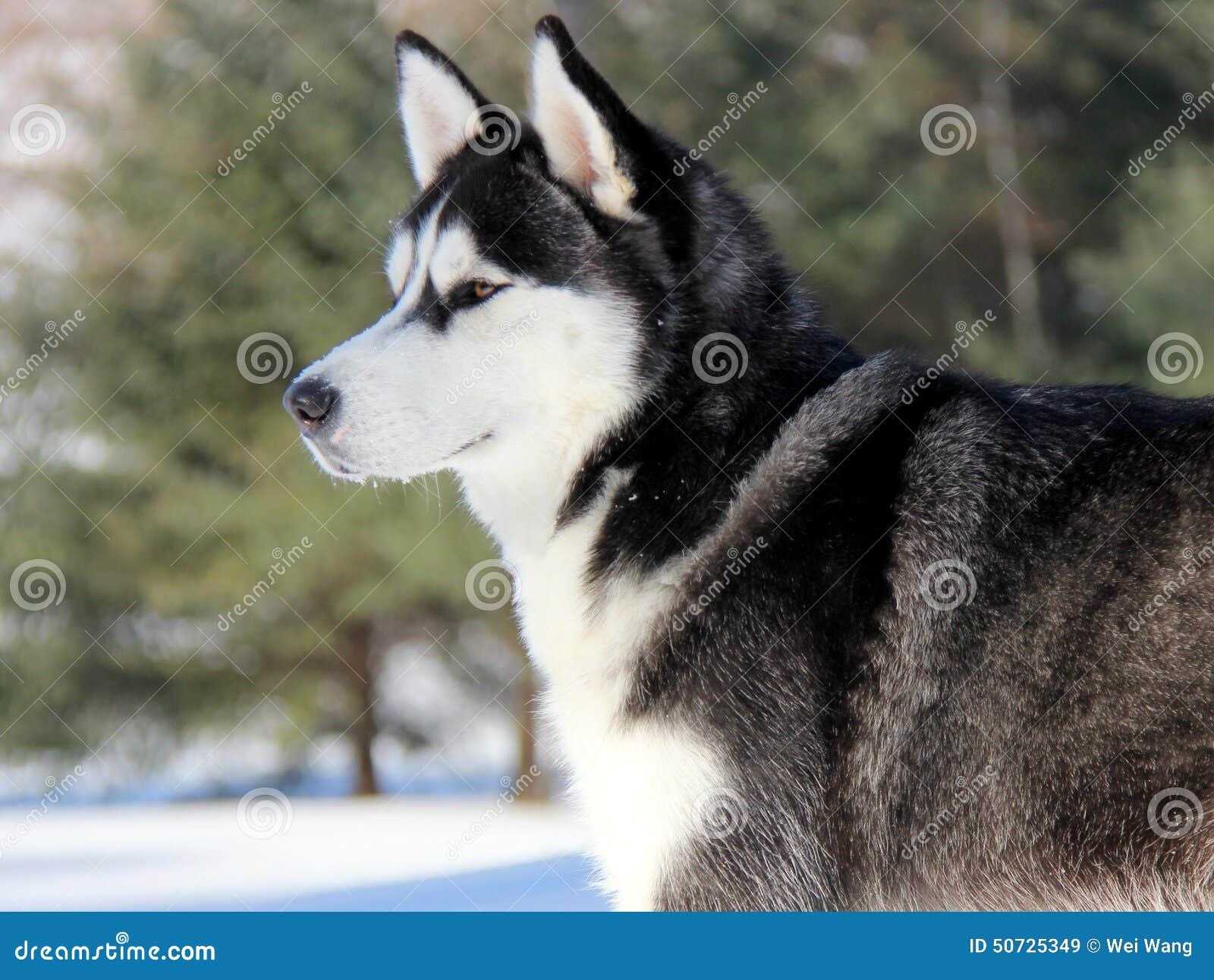 在雪的西伯利亚爱斯基摩人小狗