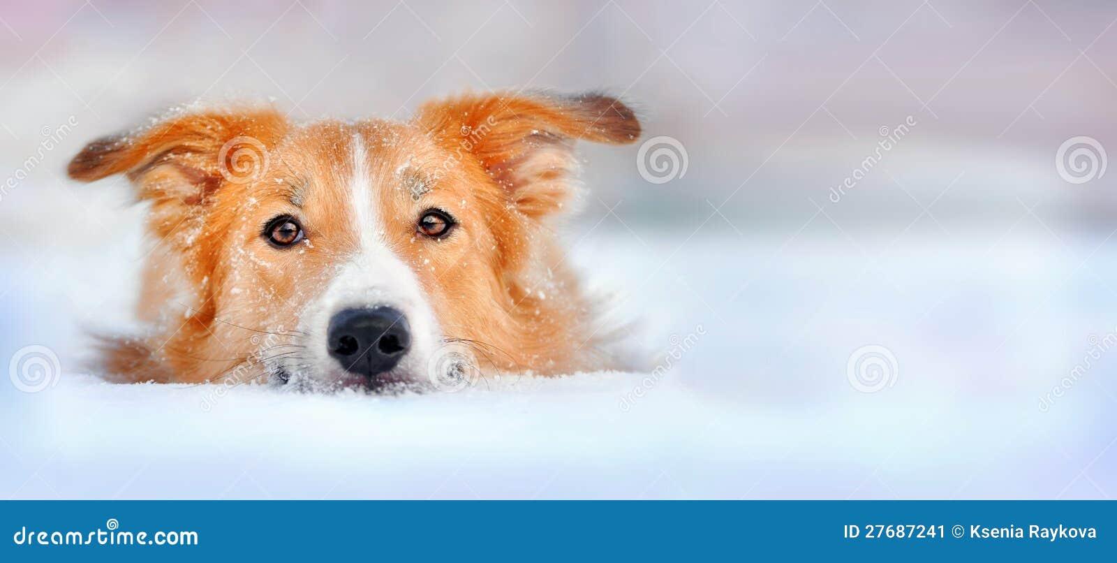 在雪的逗人喜爱的狗博德牧羊犬