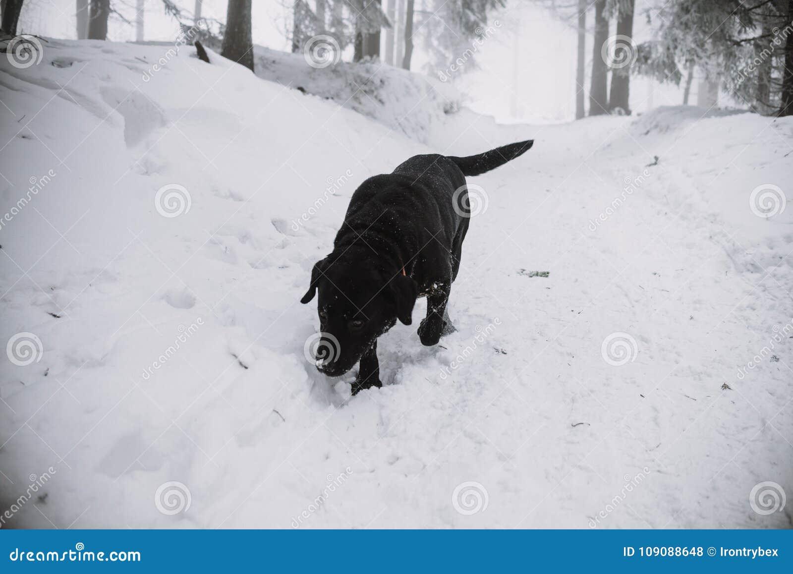 在雪的黑拉布拉多狗在森林里