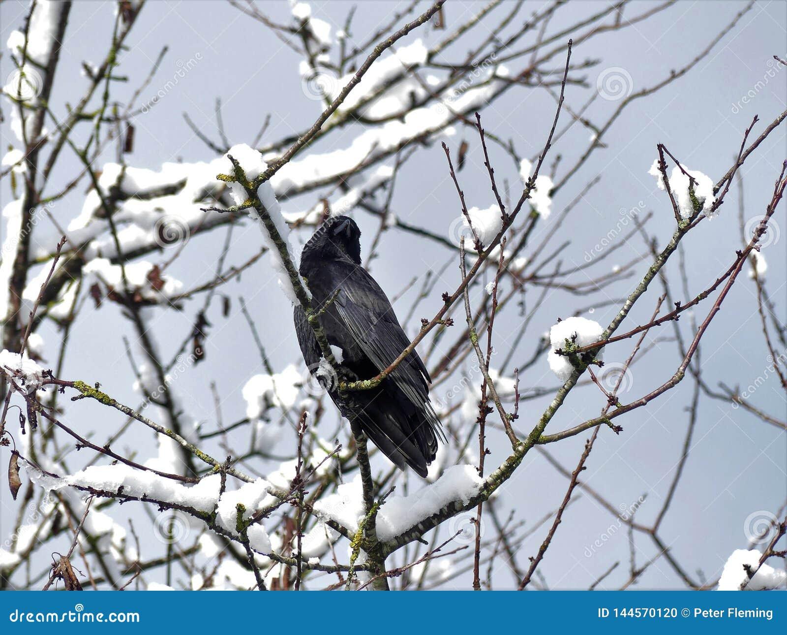 在雪盖树的黑乌鸦