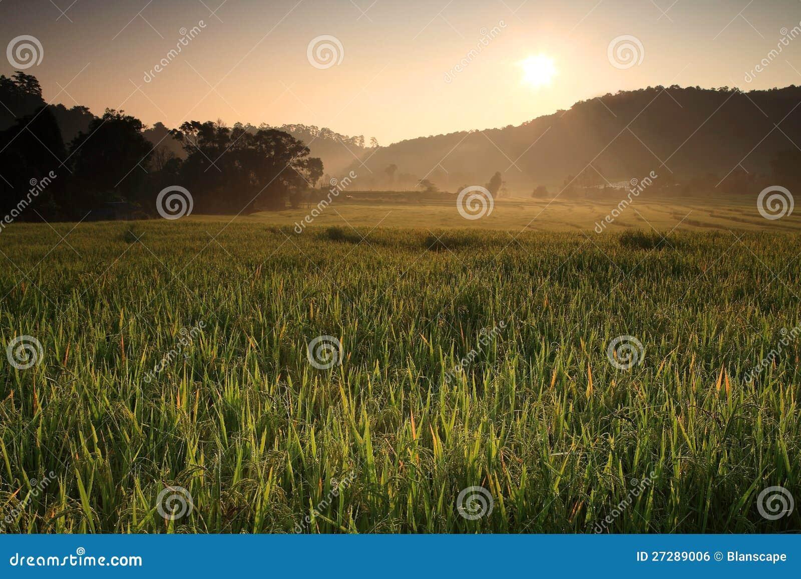 在露台的米领域的日出