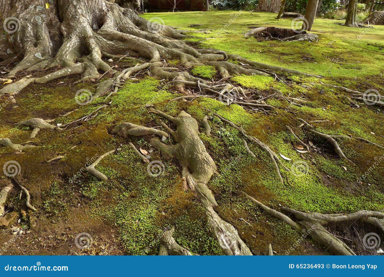 在绿色青苔土壤的老树根.
