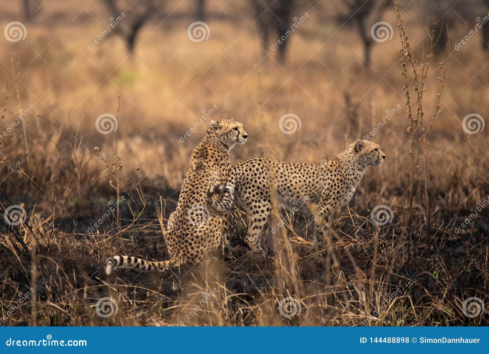 在非洲大草原的猎豹 在塞伦盖蒂国家公园,坦桑尼亚大草原的徒步旅行队  接近马赛马拉,肯尼亚 ?