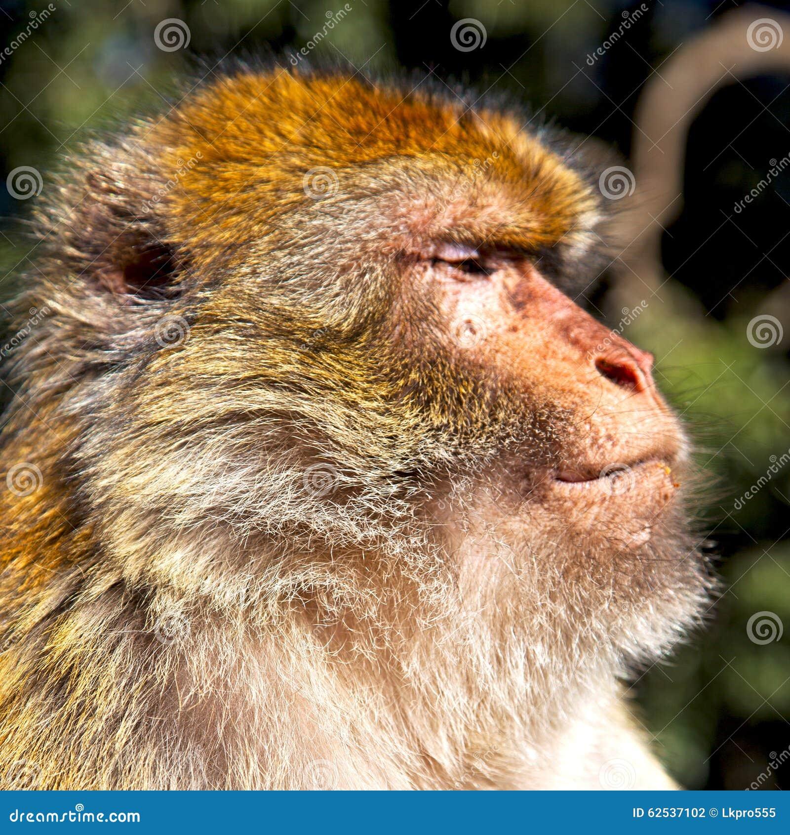 在非洲摩洛哥和自然本底动物区系关闭的老猴子