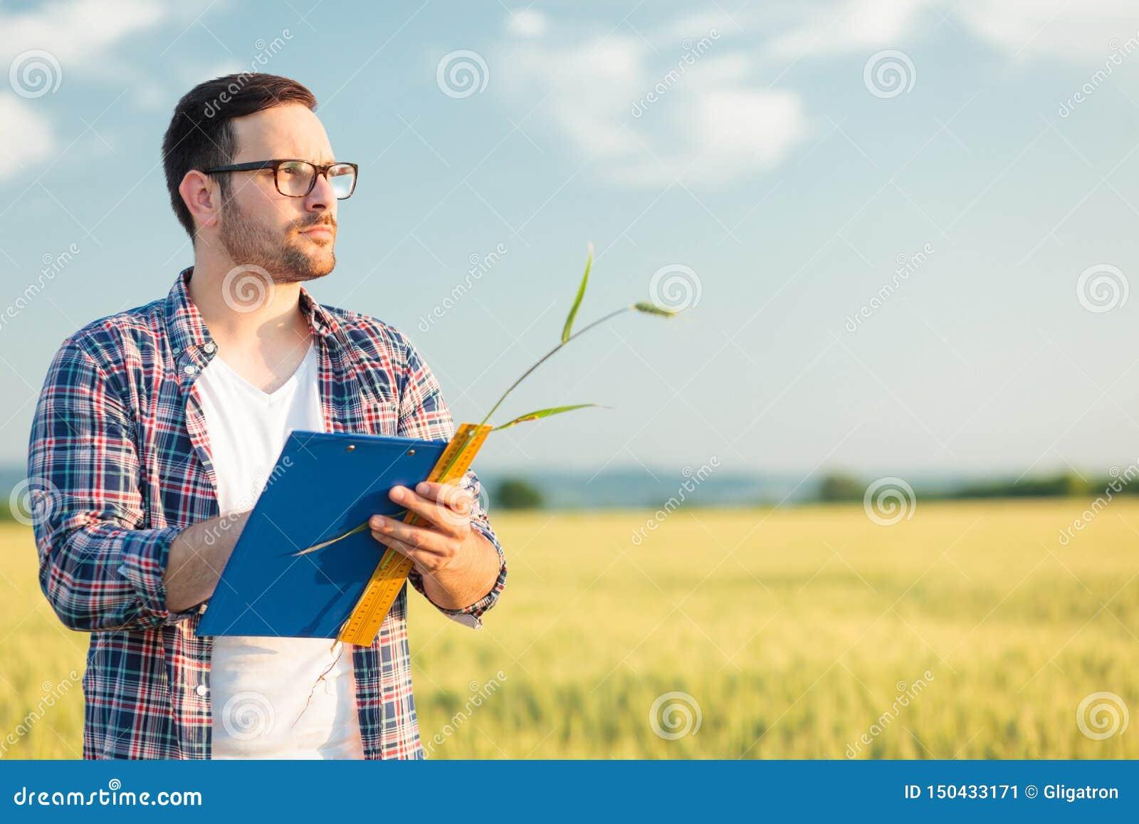 在领域的严肃的年轻农艺师或农夫测量的麦子植物大小,写数据入查询表