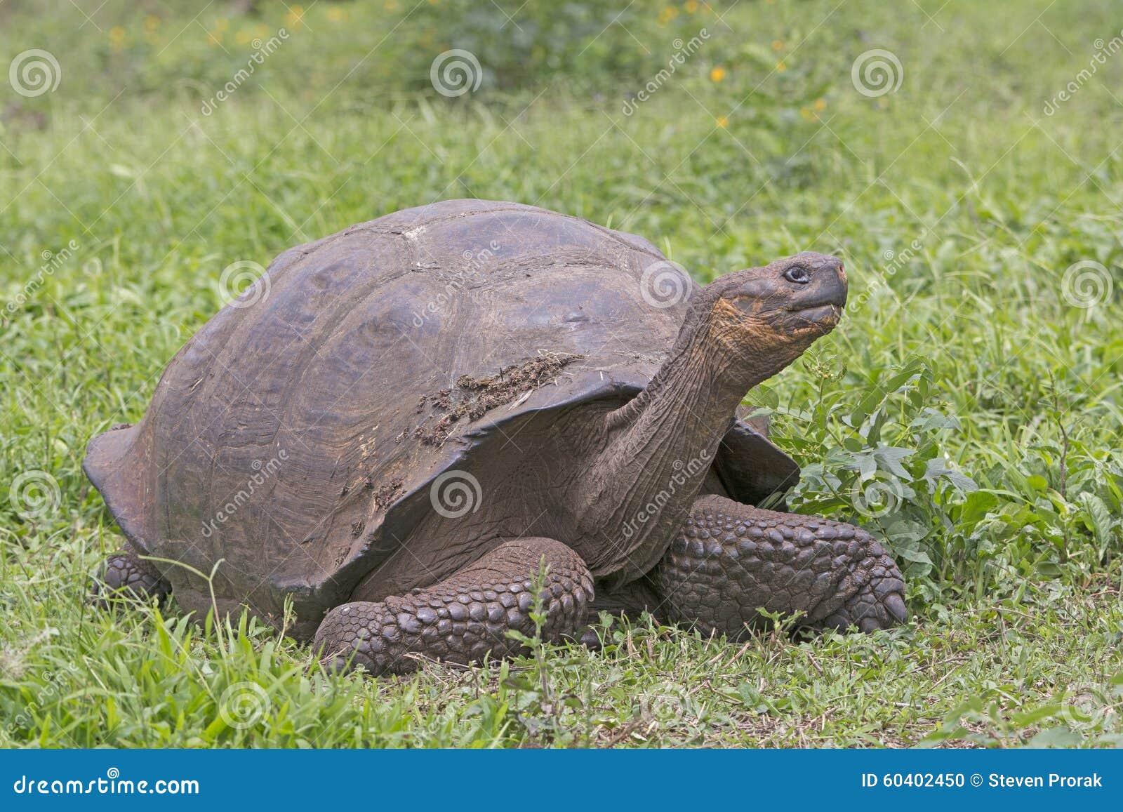 在领域的加拉帕戈斯巨型草龟