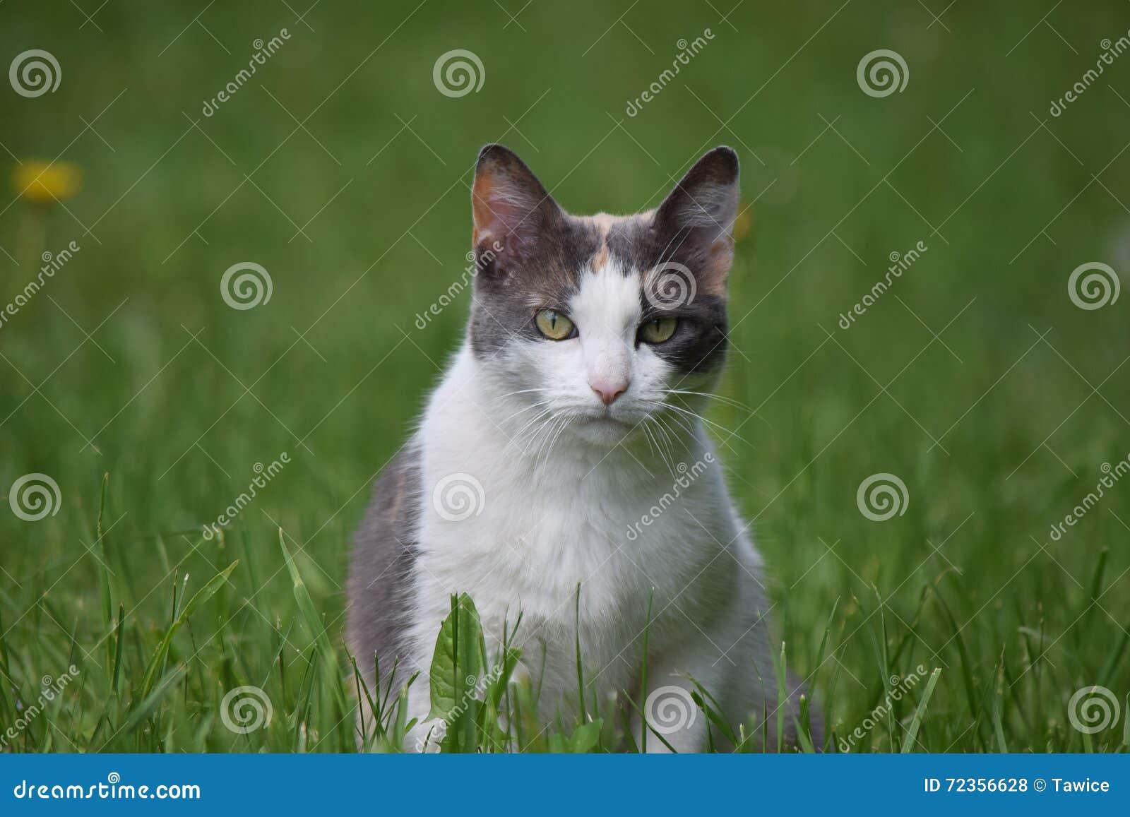 在领域的成人猫