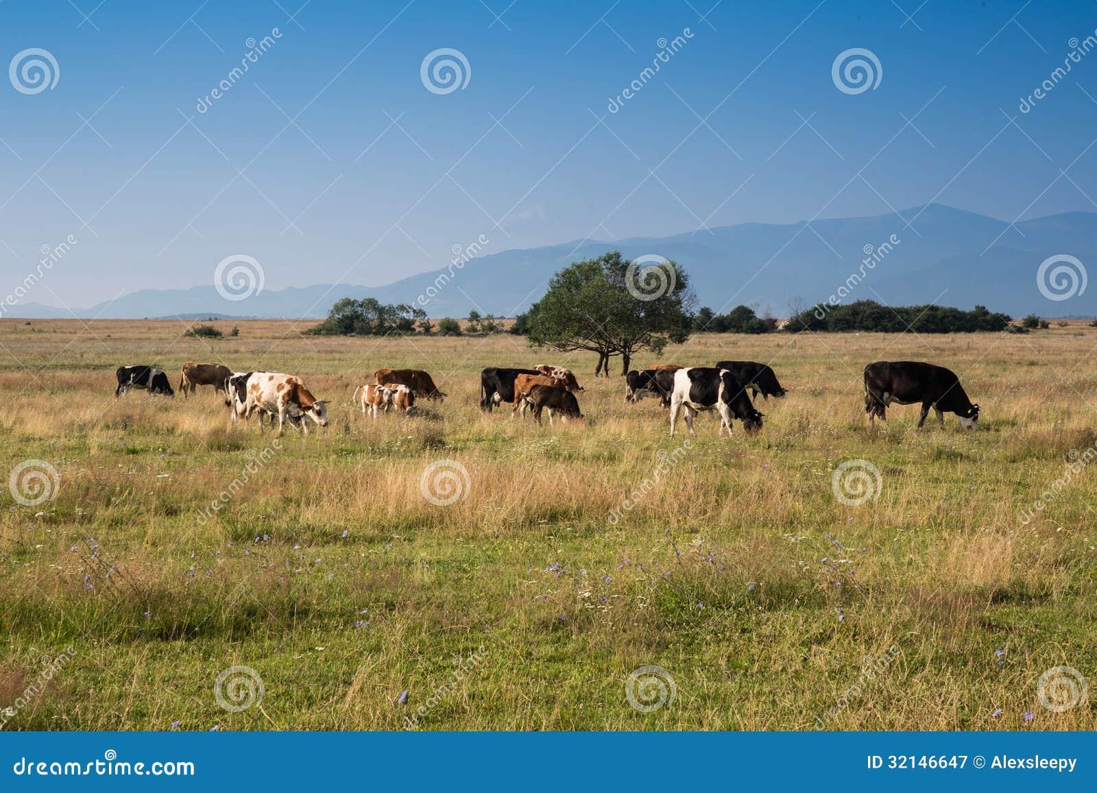 在领域的母牛