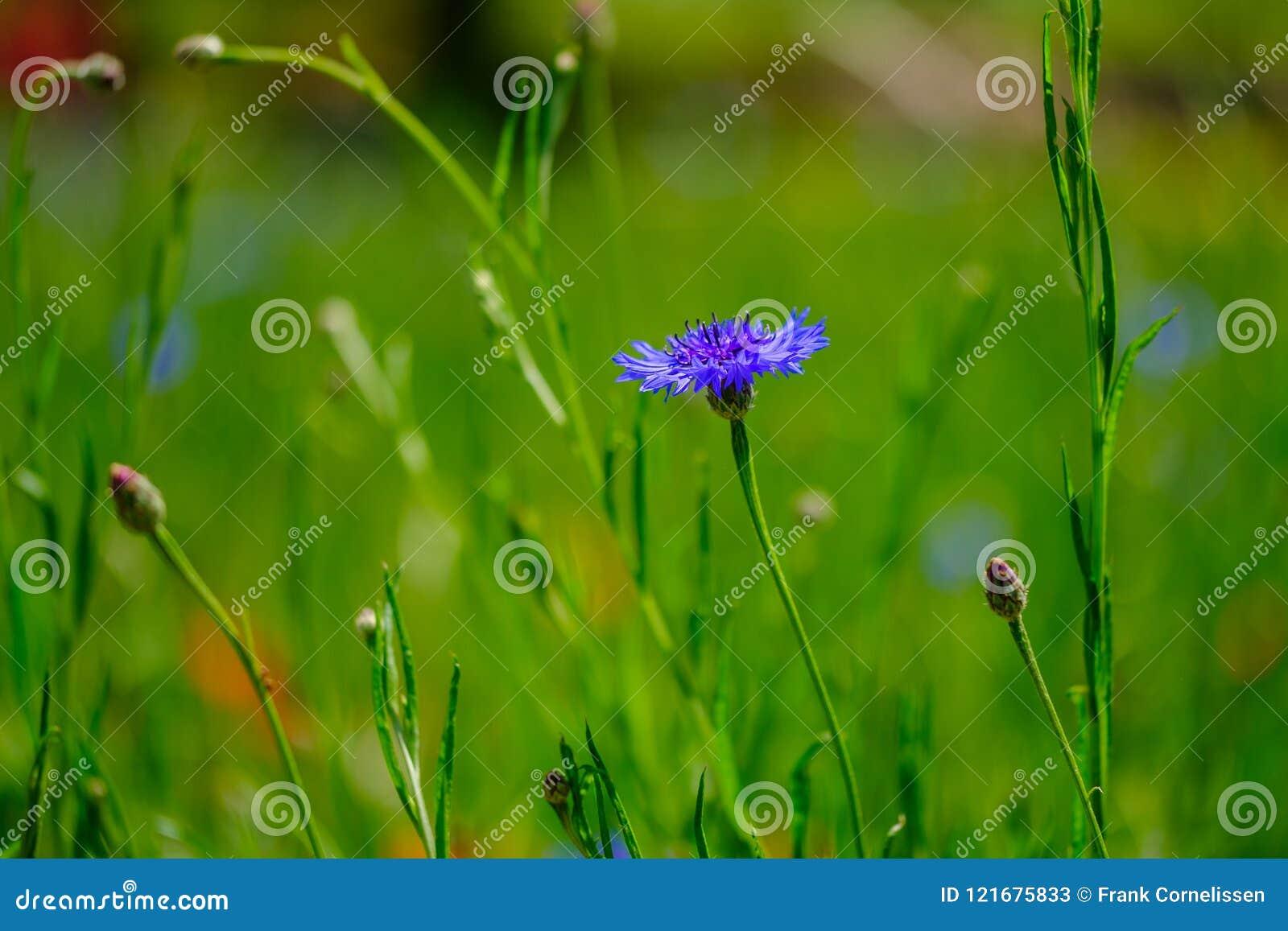在领域的矢车菊