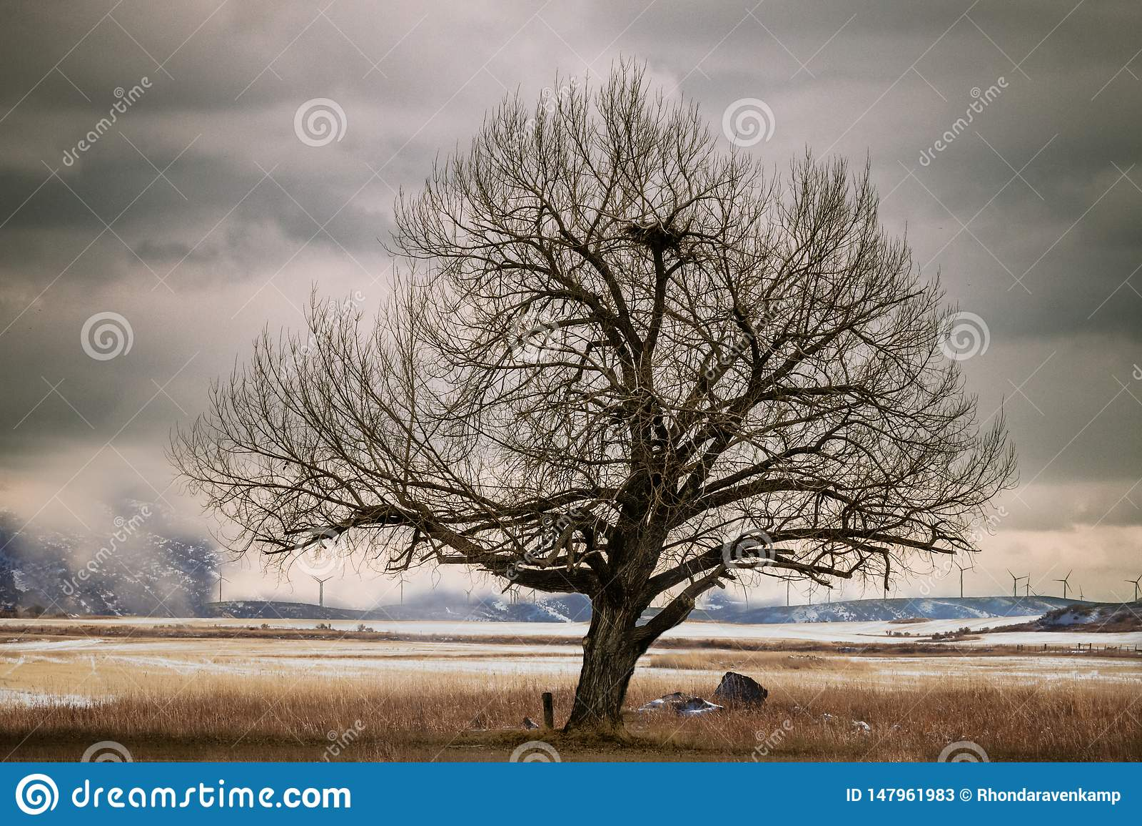 在领域的老弯曲的树与大鸟美国照相侦察卫星的巢