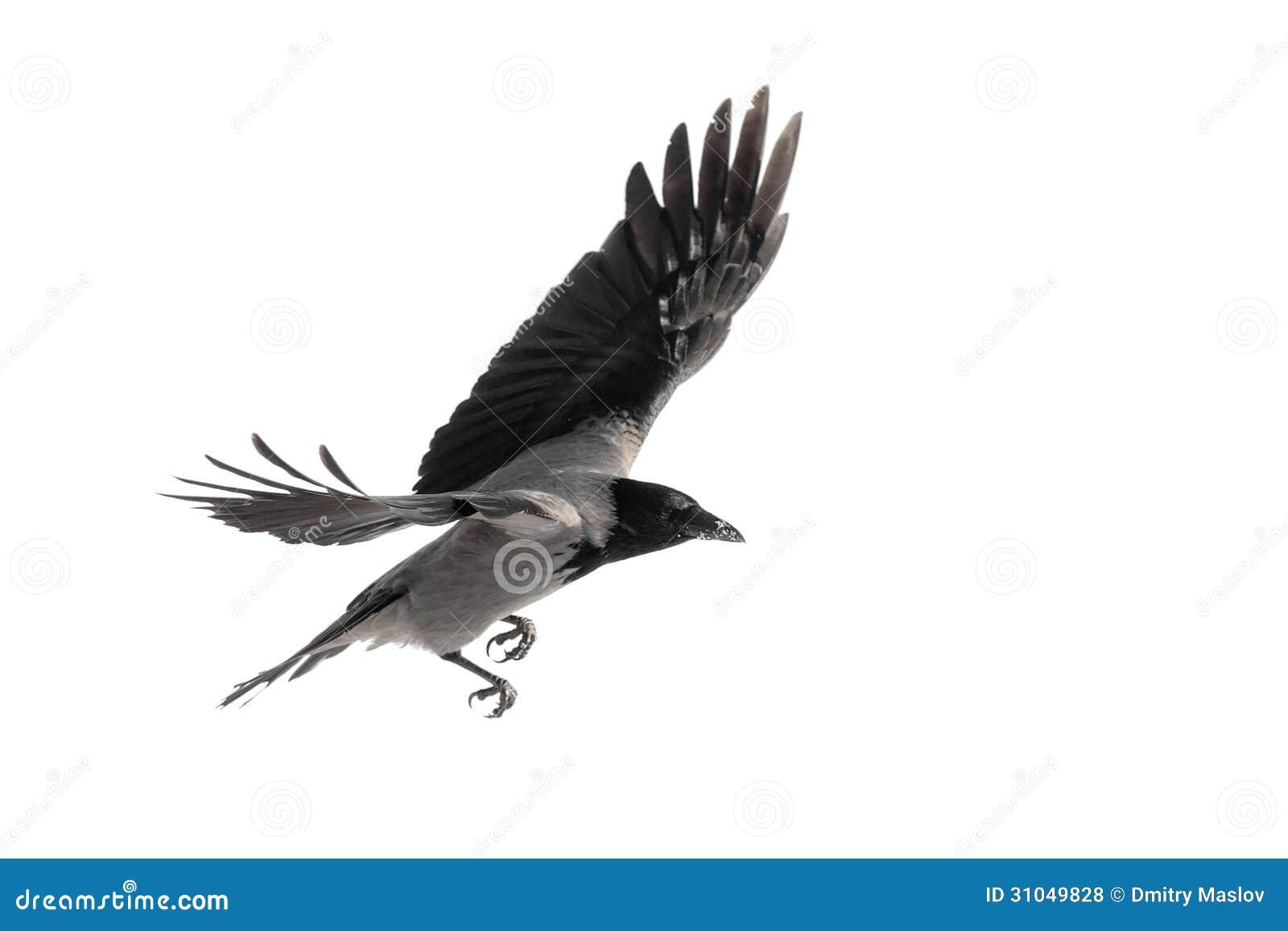 在飞行中乌鸦