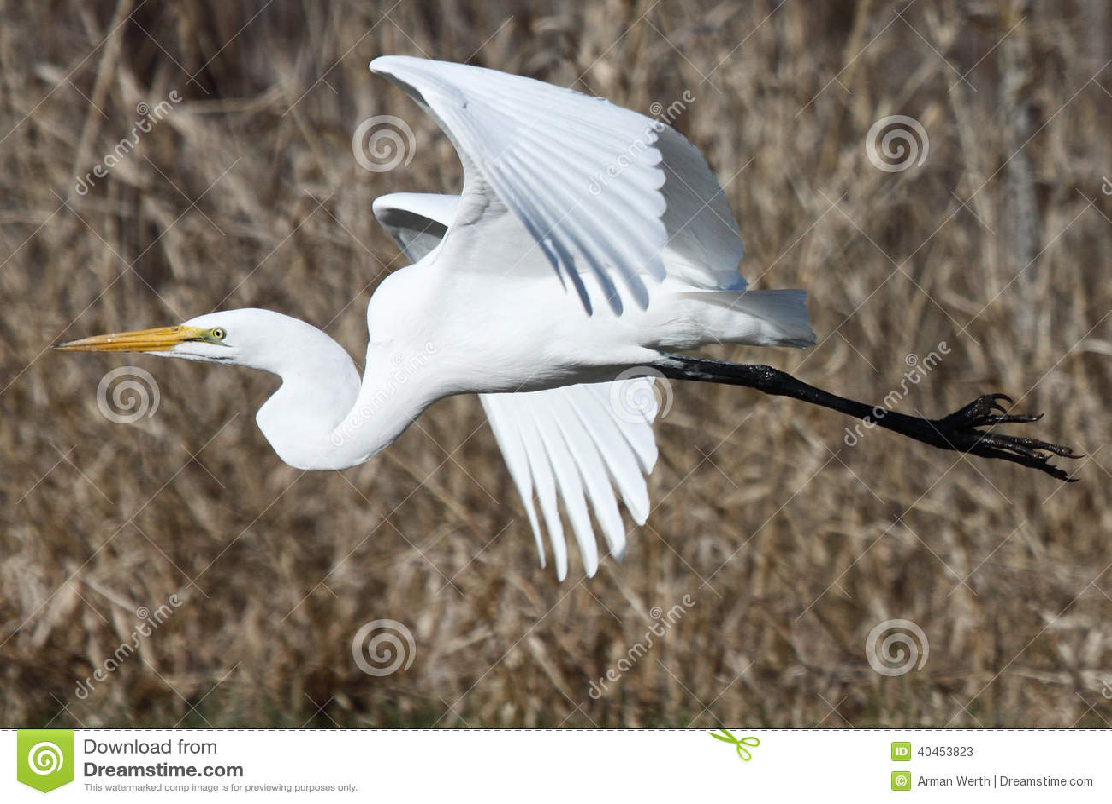 在飞行中伟大的白鹭