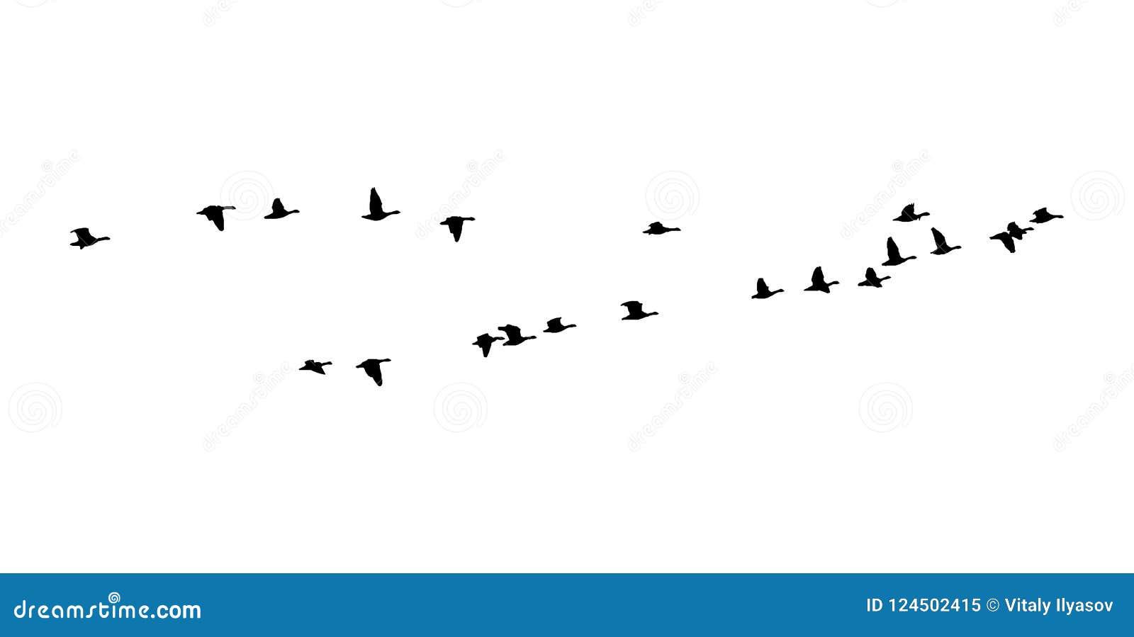 在飞行中更加伟大的白朝向的鹅楔子 传染媒介剪影鸟群
