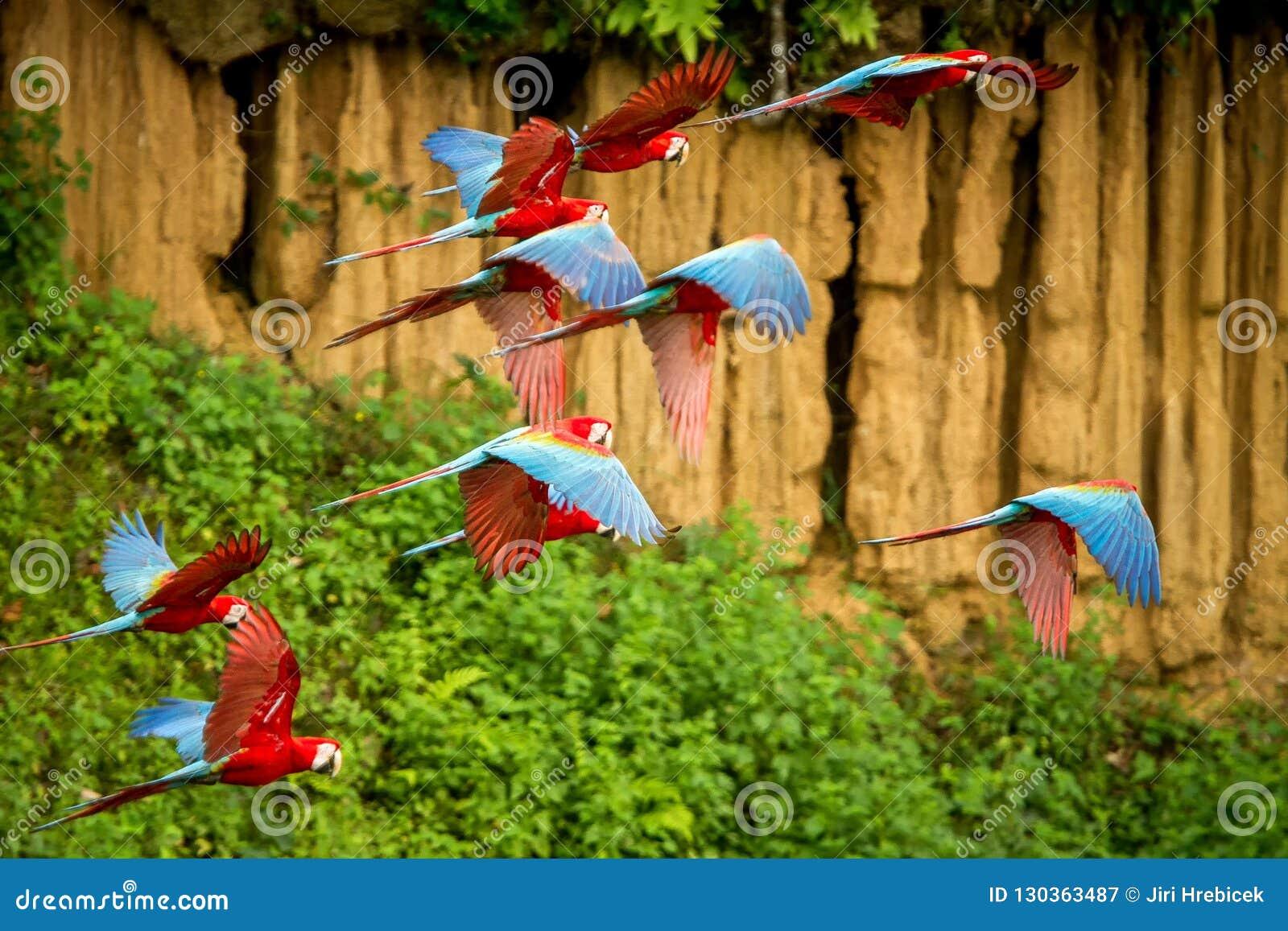 在飞行中红色鹦鹉群  金刚鹦鹉飞行,绿色植被在背景中 红色和绿色金刚鹦鹉在热带森林,秘鲁里