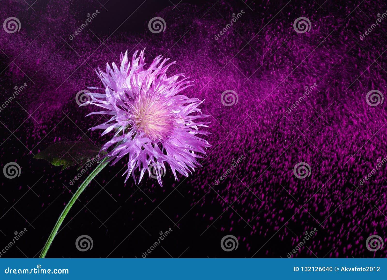 在飞行紫色尘土背景的美丽的花