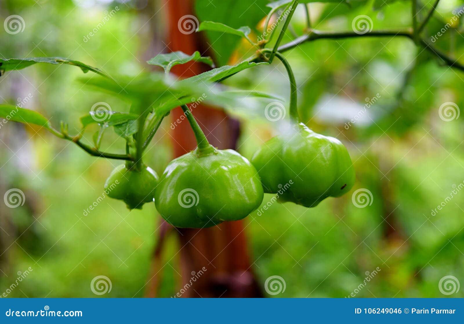 在香料种植园-甜椒-种植的绿色辣椒的果实