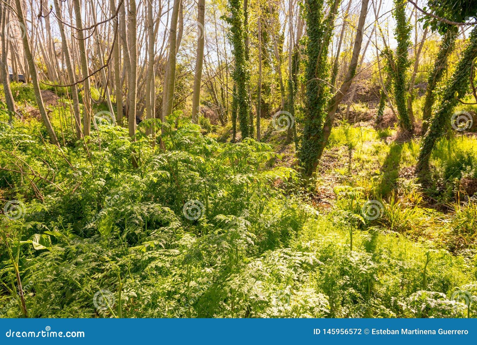 在马德雷del Agua小河旁边的叶茂盛树木繁茂区在Grimaldo