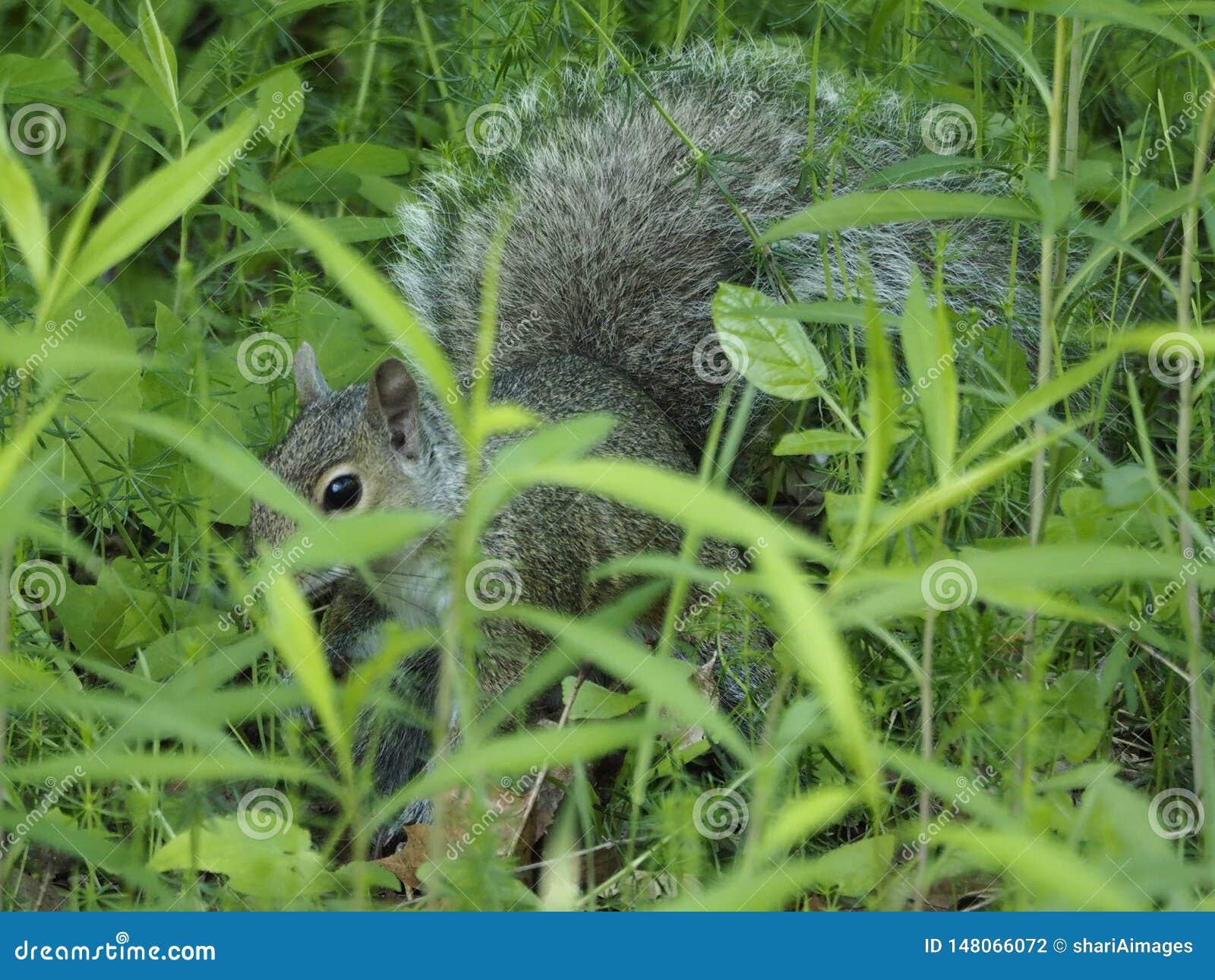 在高草掩藏的灰色灰鼠