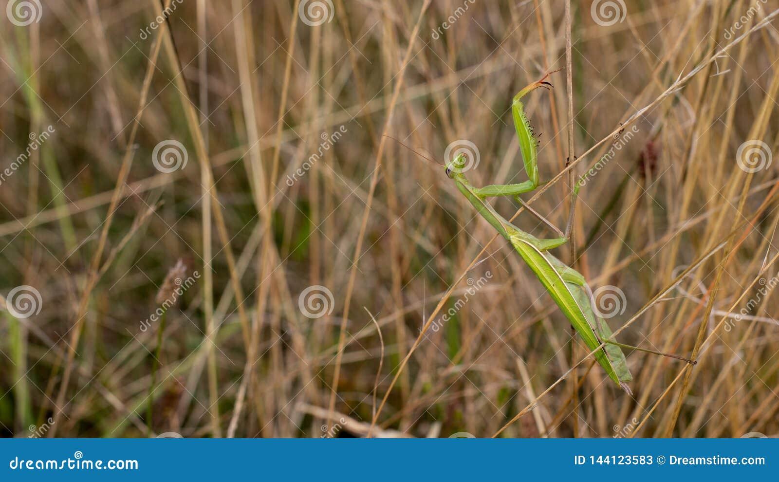 在高草的捕食的螳螂偷偷靠近的昆虫