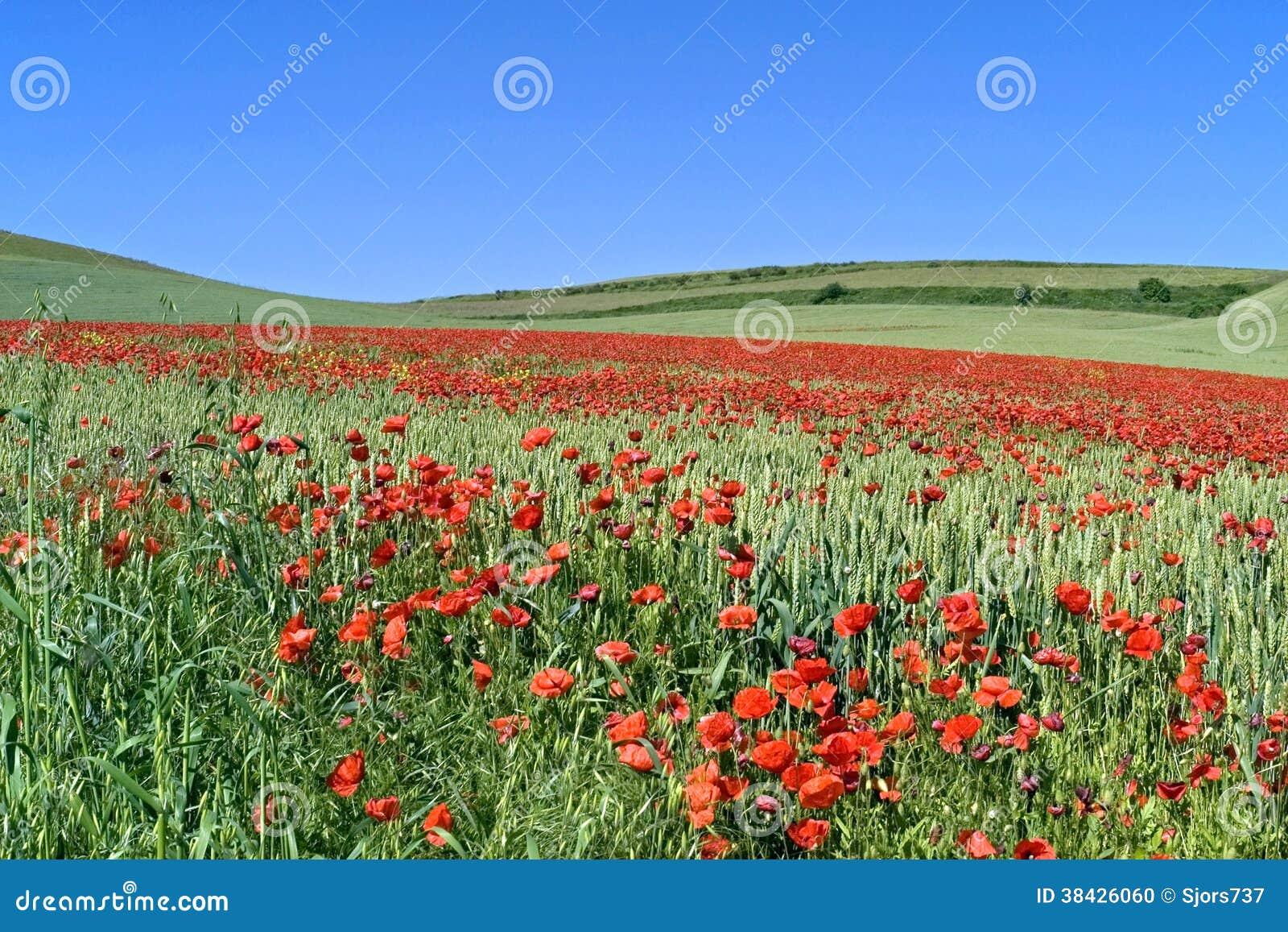 在麦田的开花的鸦片