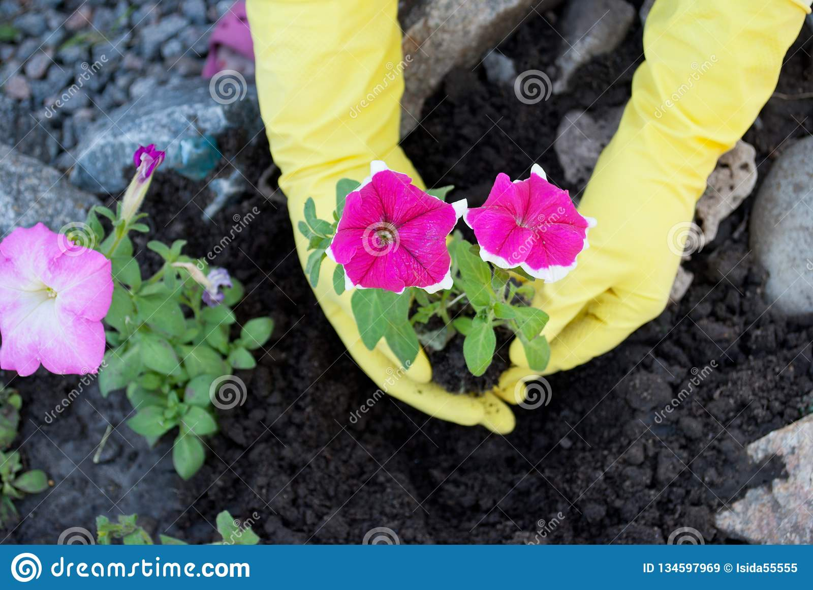 在黄色橡胶手套的手拿着一朵桃红色喇叭花花的树苗,在地面上的春天工作,松开种植