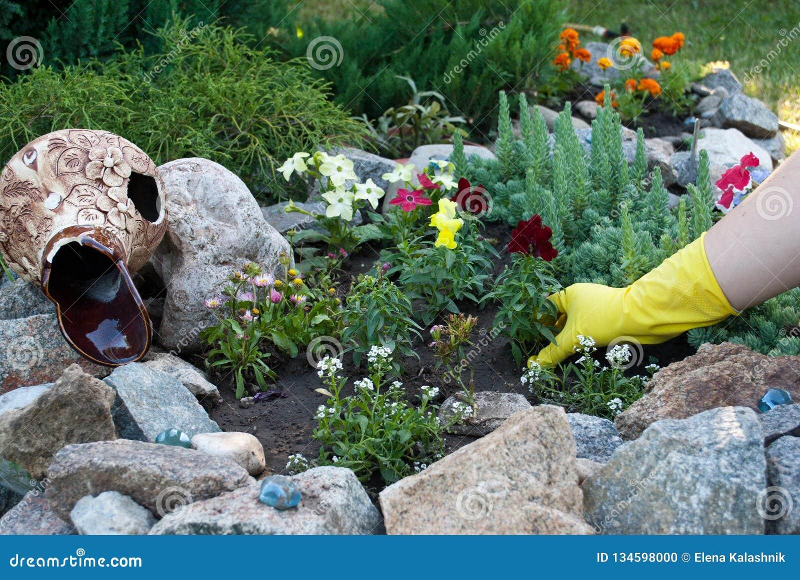 在黄色橡胶手套的手拿着花树苗,在地面地面上的春天工作,松开种植