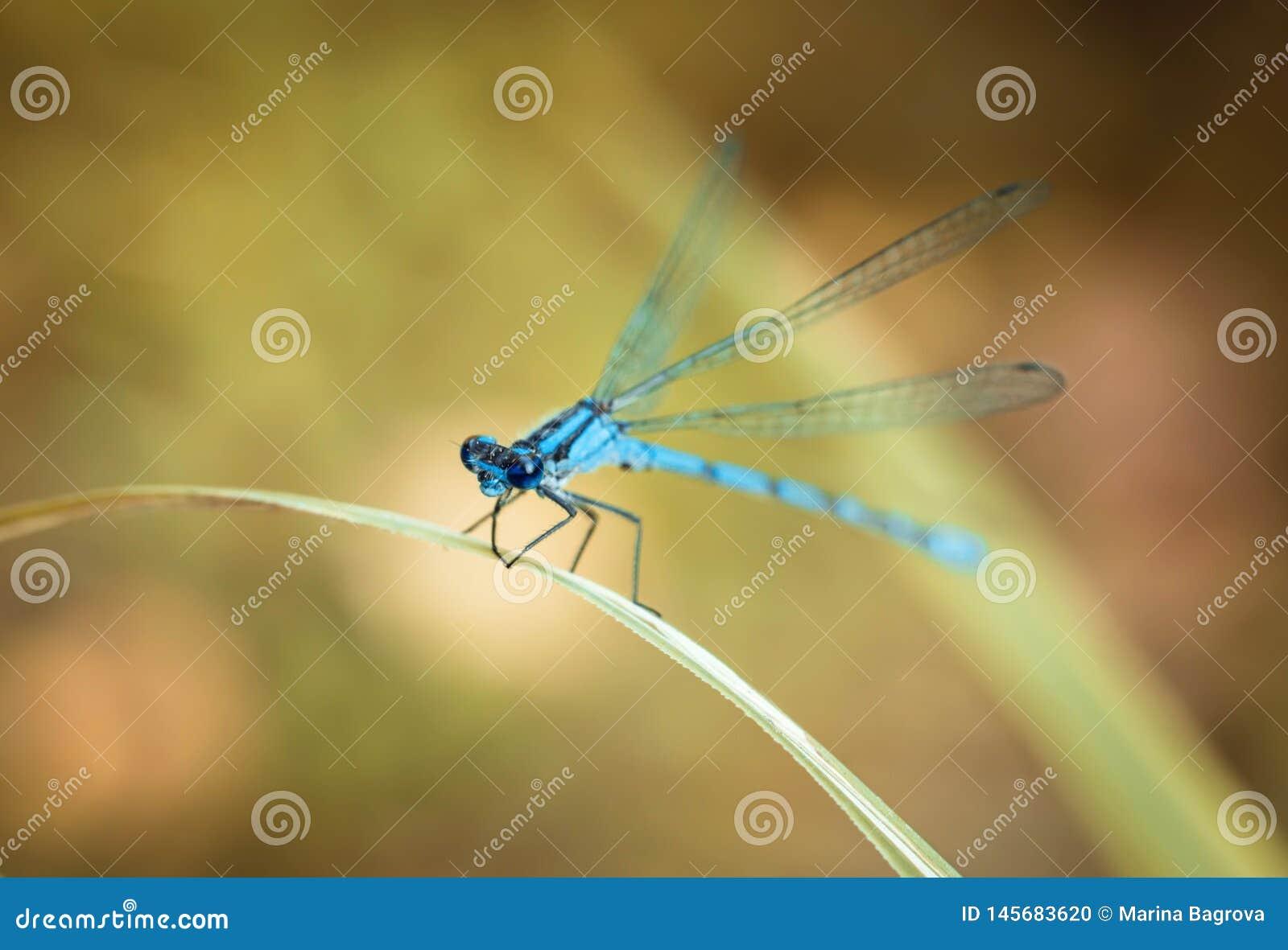 在黄色背景的蓝色蜻蜓 蜻蜓坐一片干燥草叶 织地不很细翼 明亮的夏日
