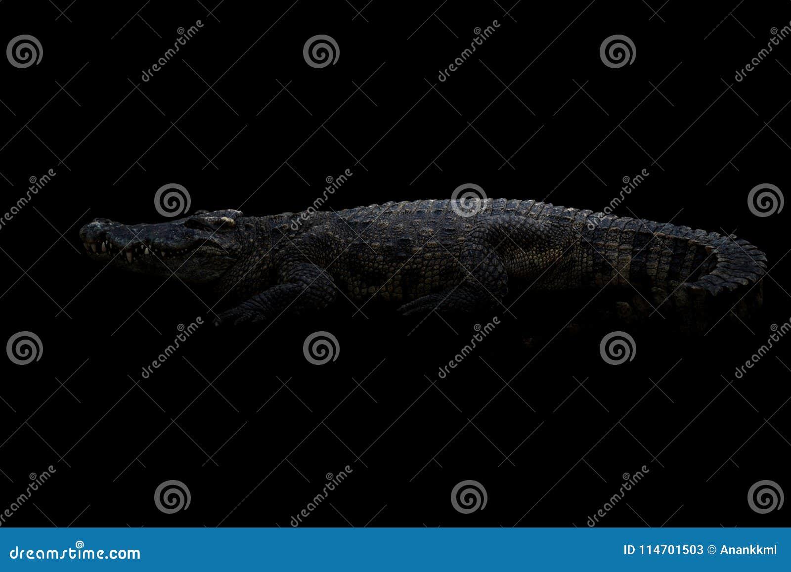 在黑暗的暹罗鳄鱼