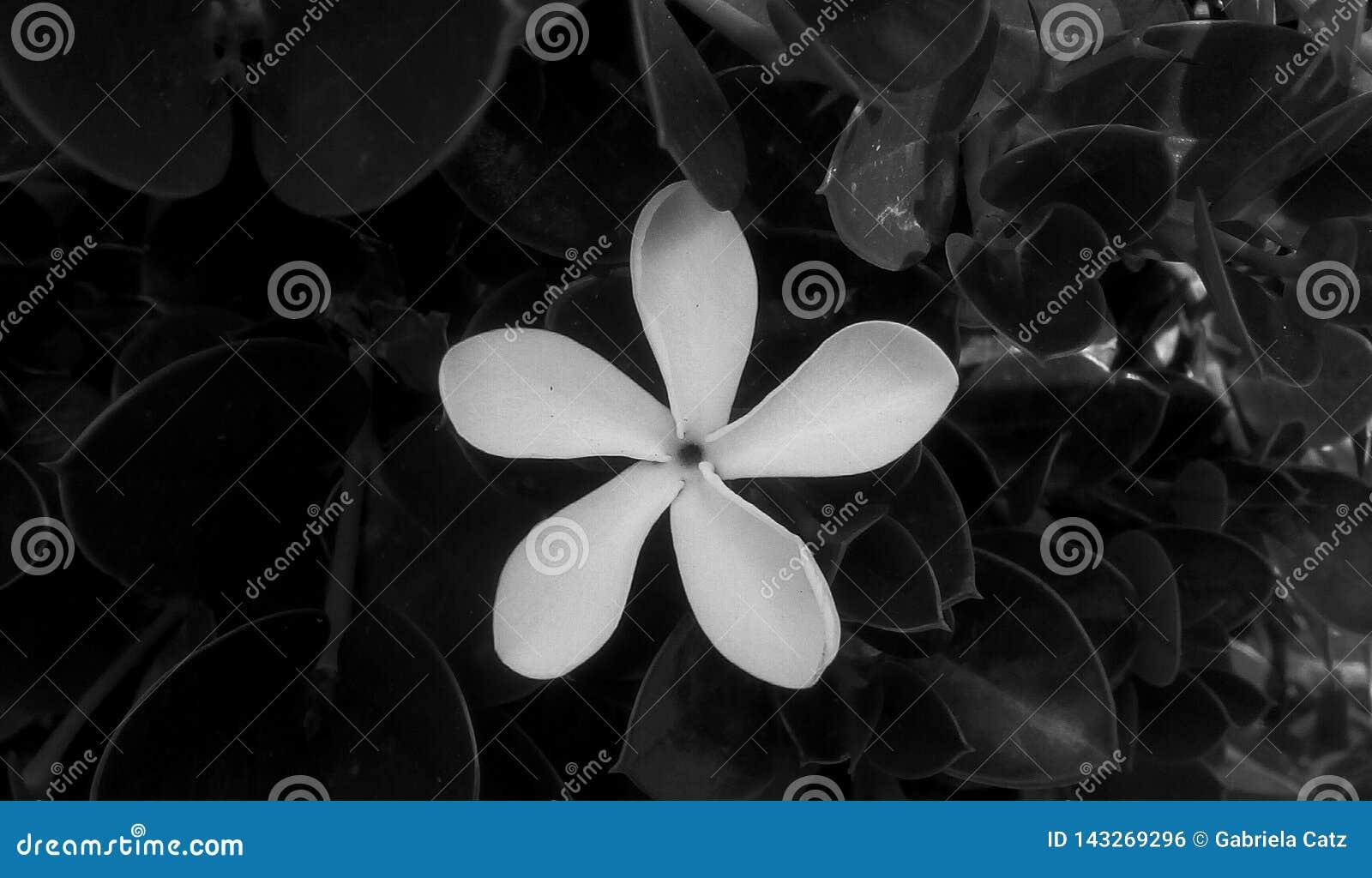 在黑白照片的花