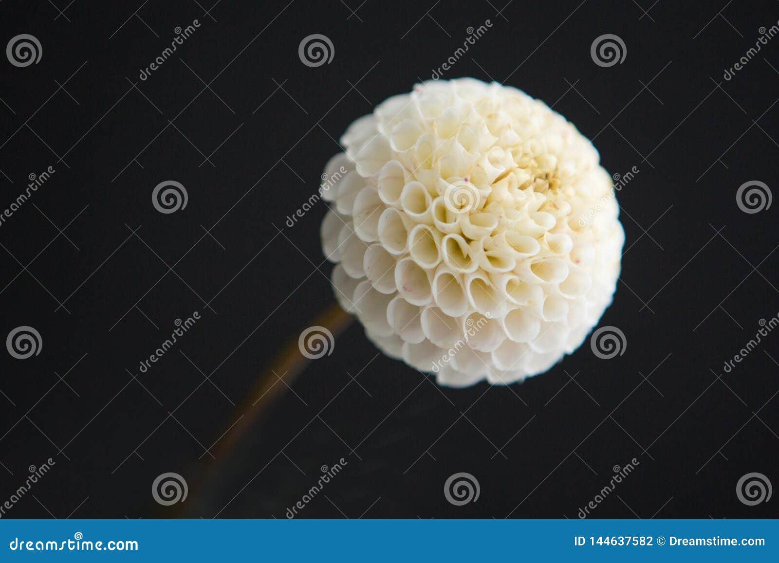 在黑背景的一朵显著被点燃的白色大丽花