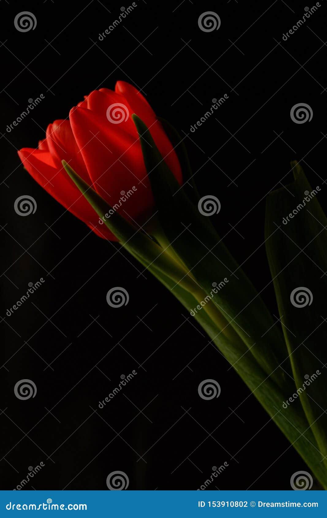 在黑背景的红色郁金香