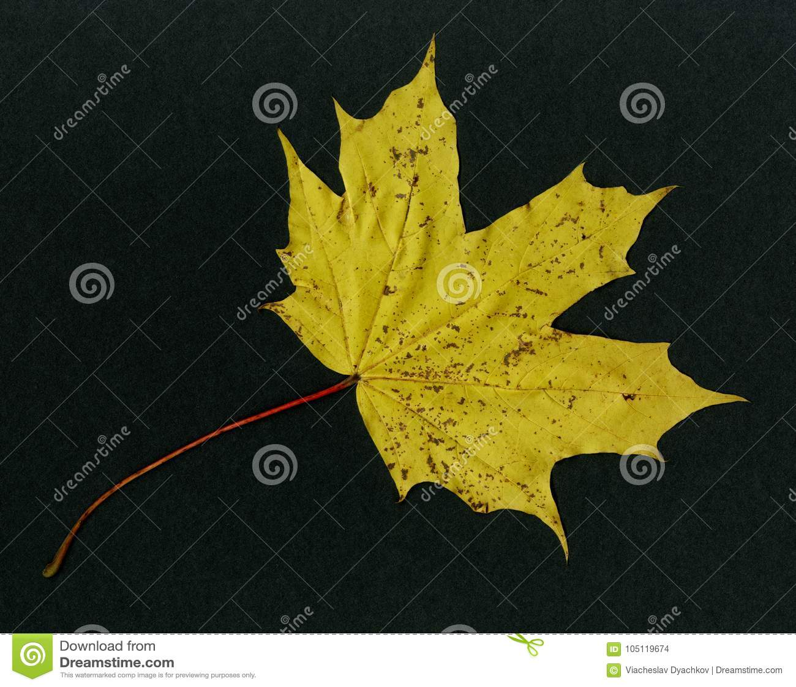 在黑背景-黄色叶子加拿大槭树木头
