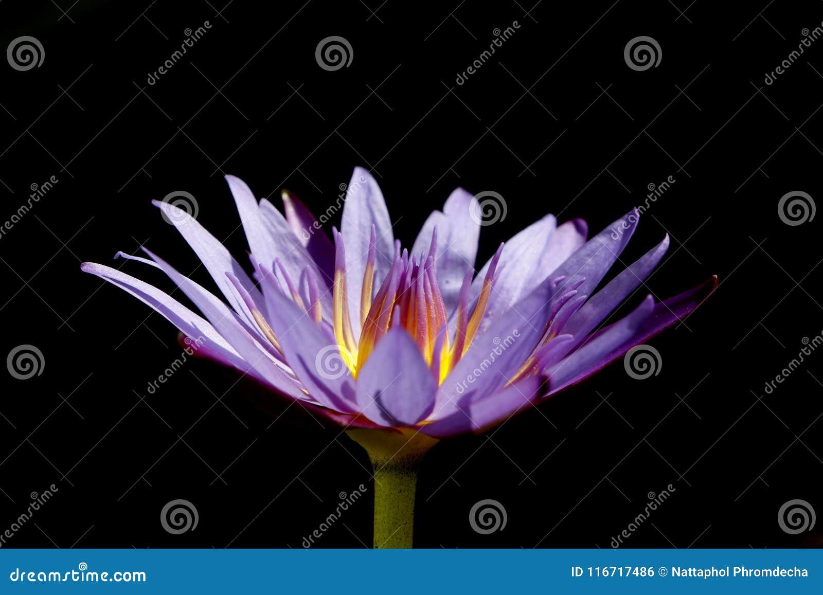 在黑色背景的紫色莲花
