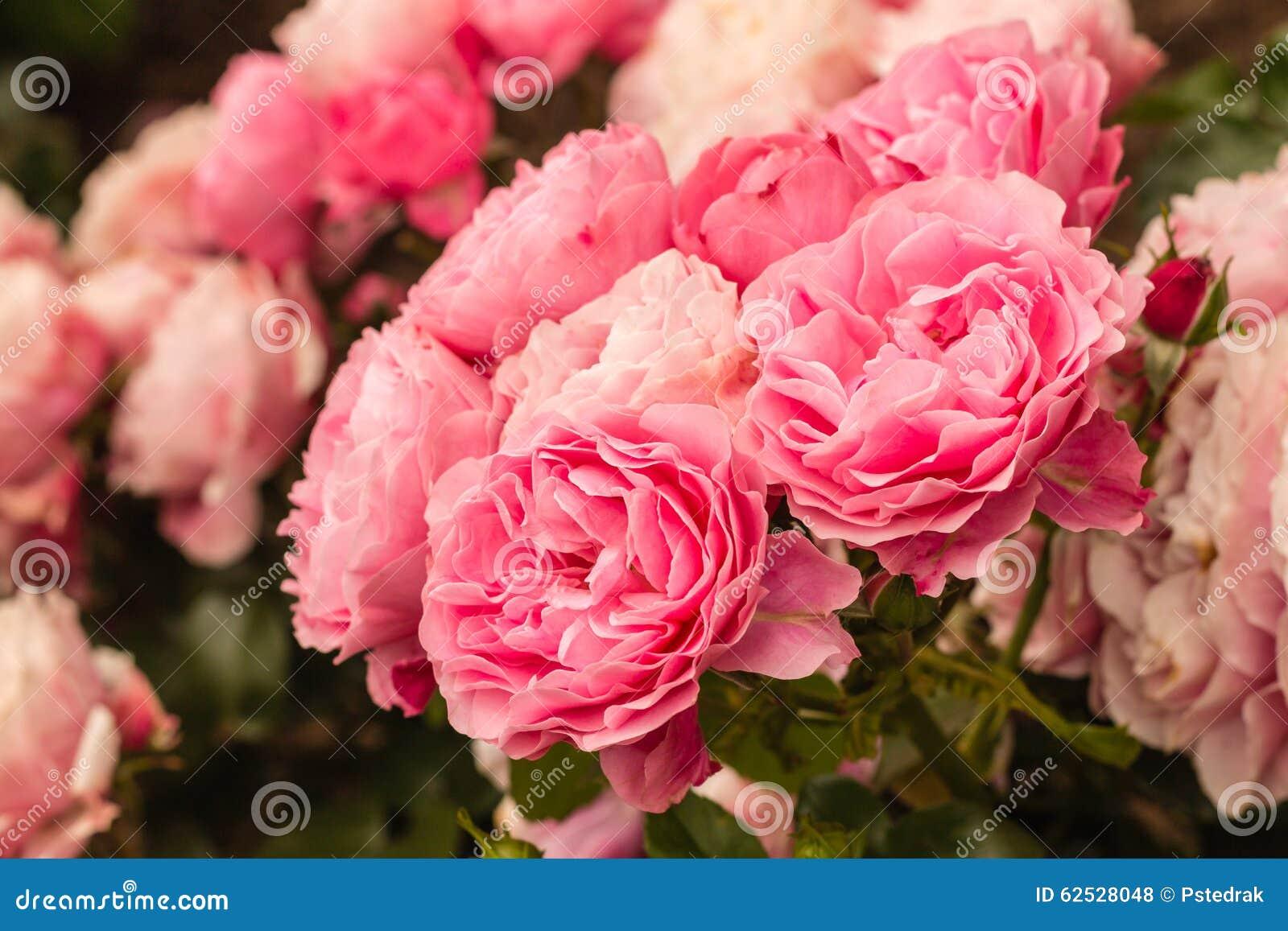 在绽放的午后茶会玫瑰
